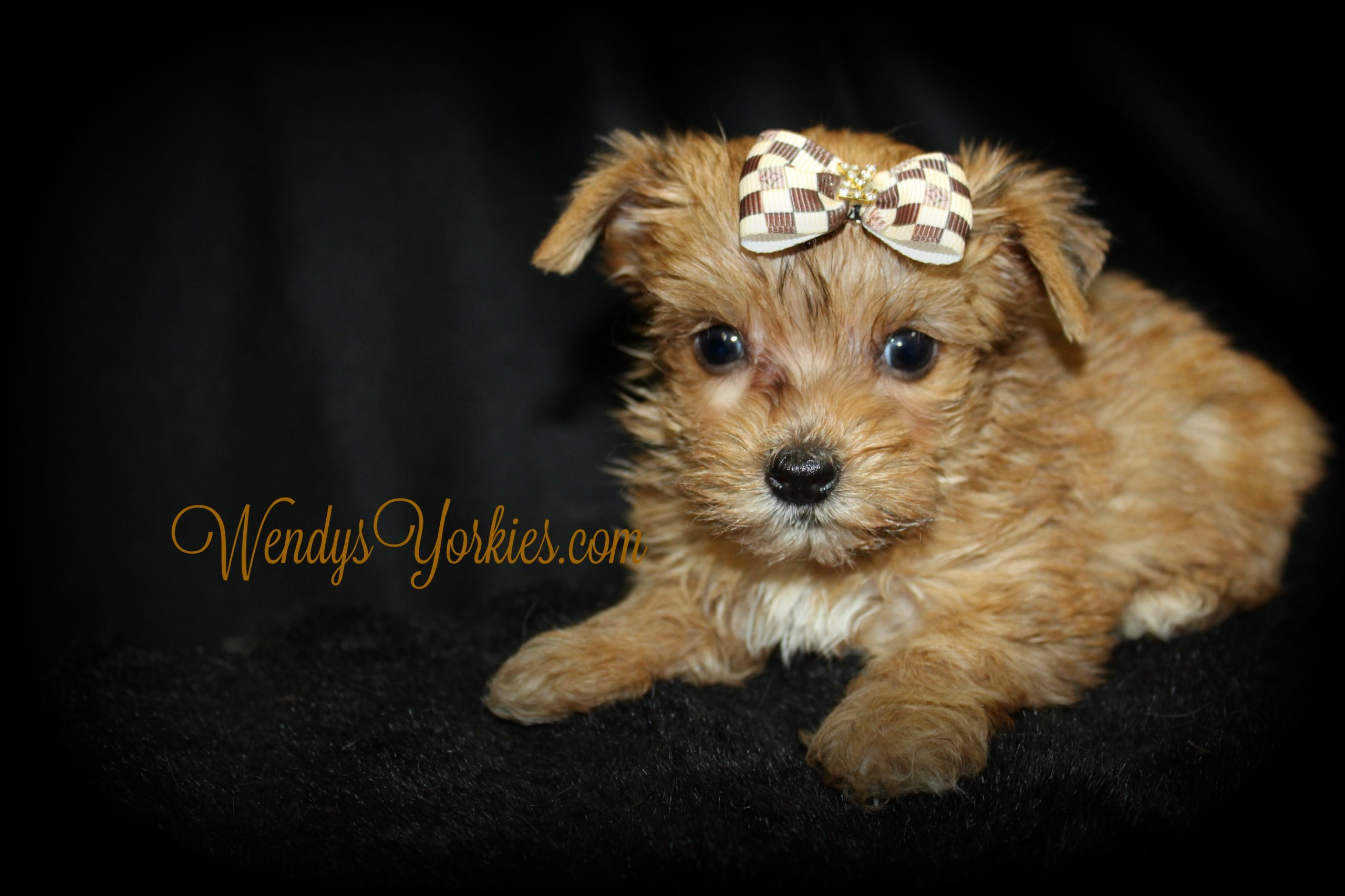 Tiny Yorkie puppy for sale in Texas, Legend, WendysYorkies.com