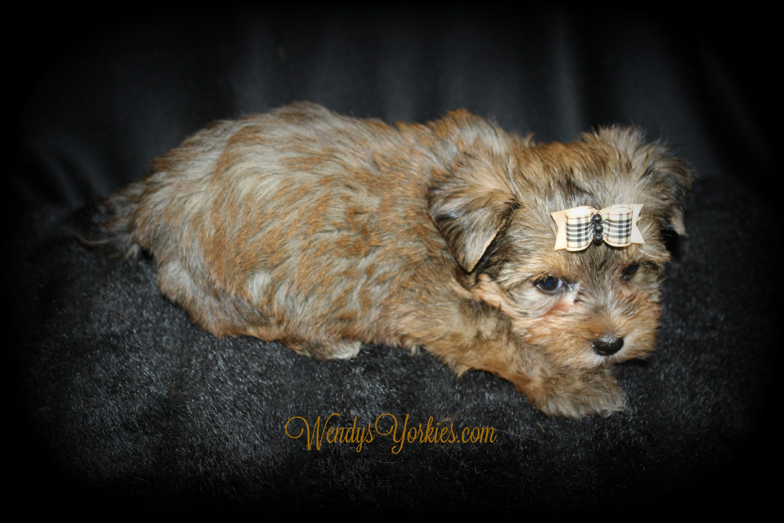 Yorkie puppy, Creed, WendysYorkies.com