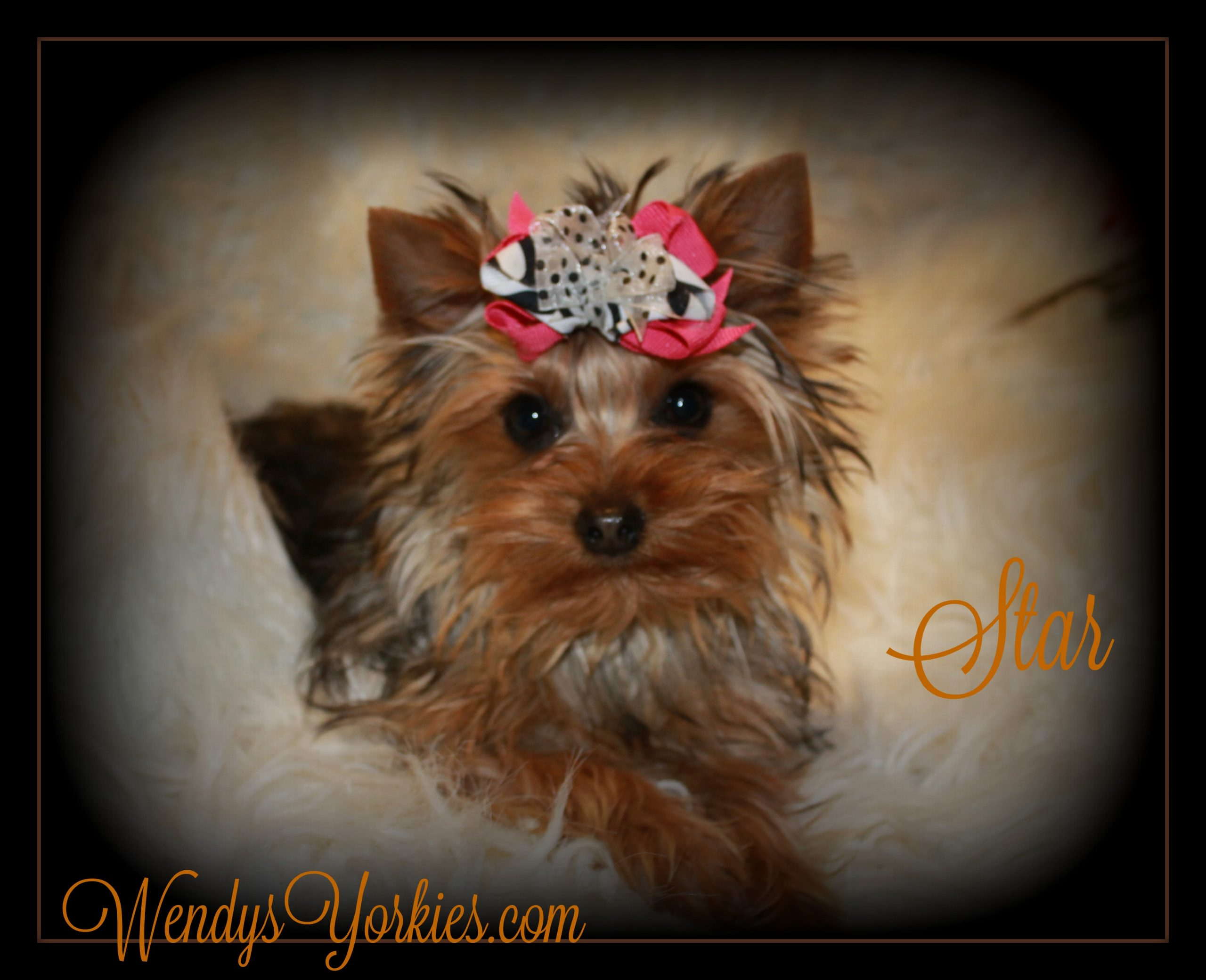 Yorkie puppy breeder, WendysYorkies, Star