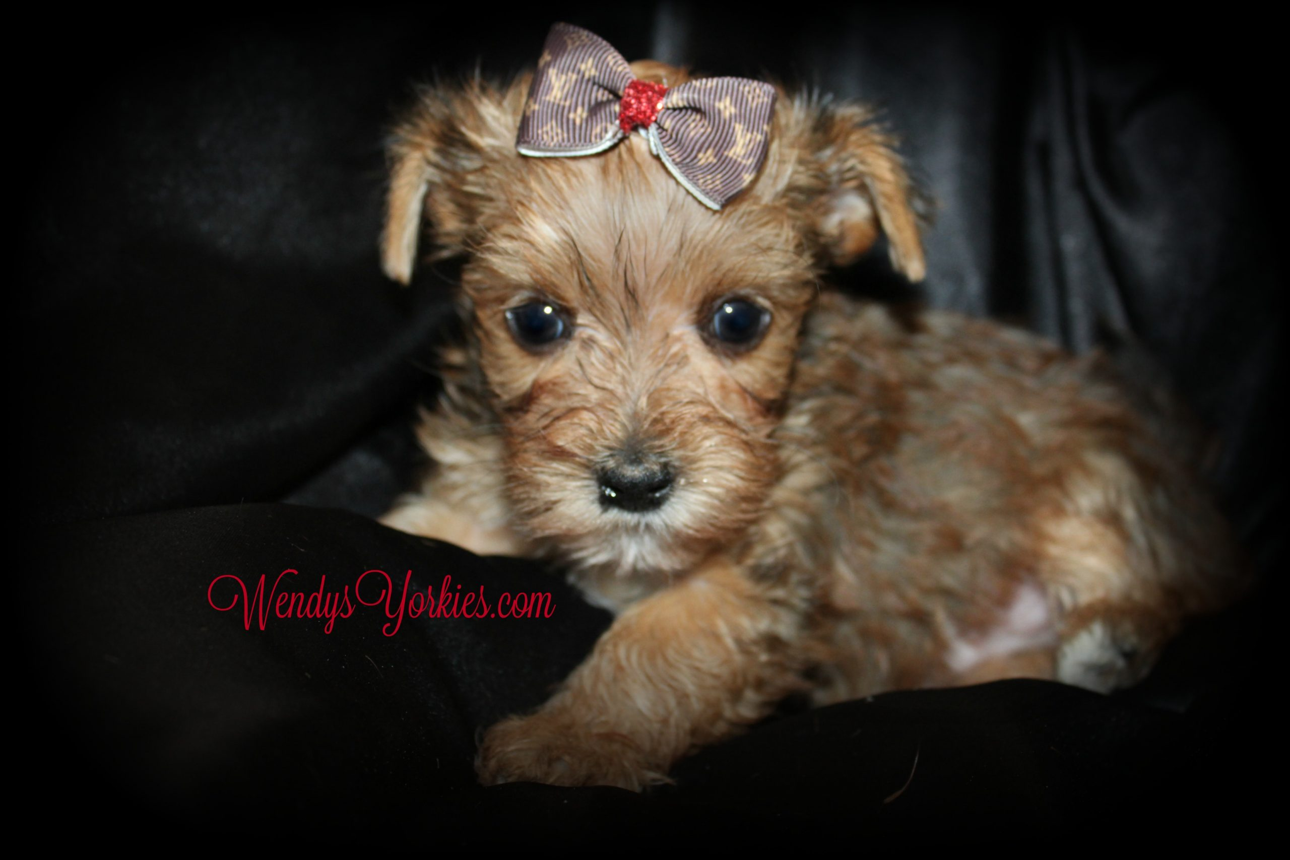 Blonde Yorkie puppies for sale, River, WendysYorkies.com