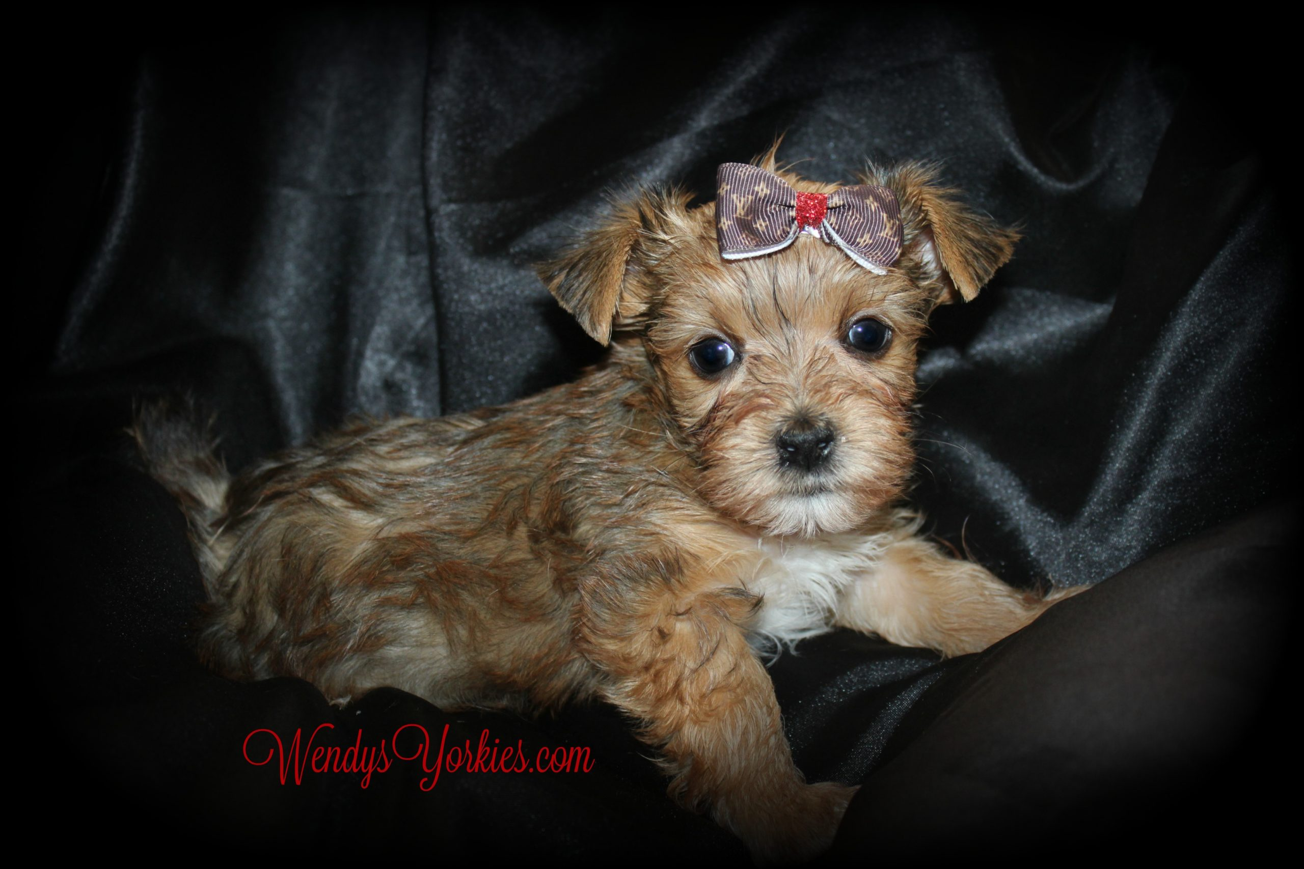 Blonde Yorkie puppy for sale, River, WendysYorkies.com