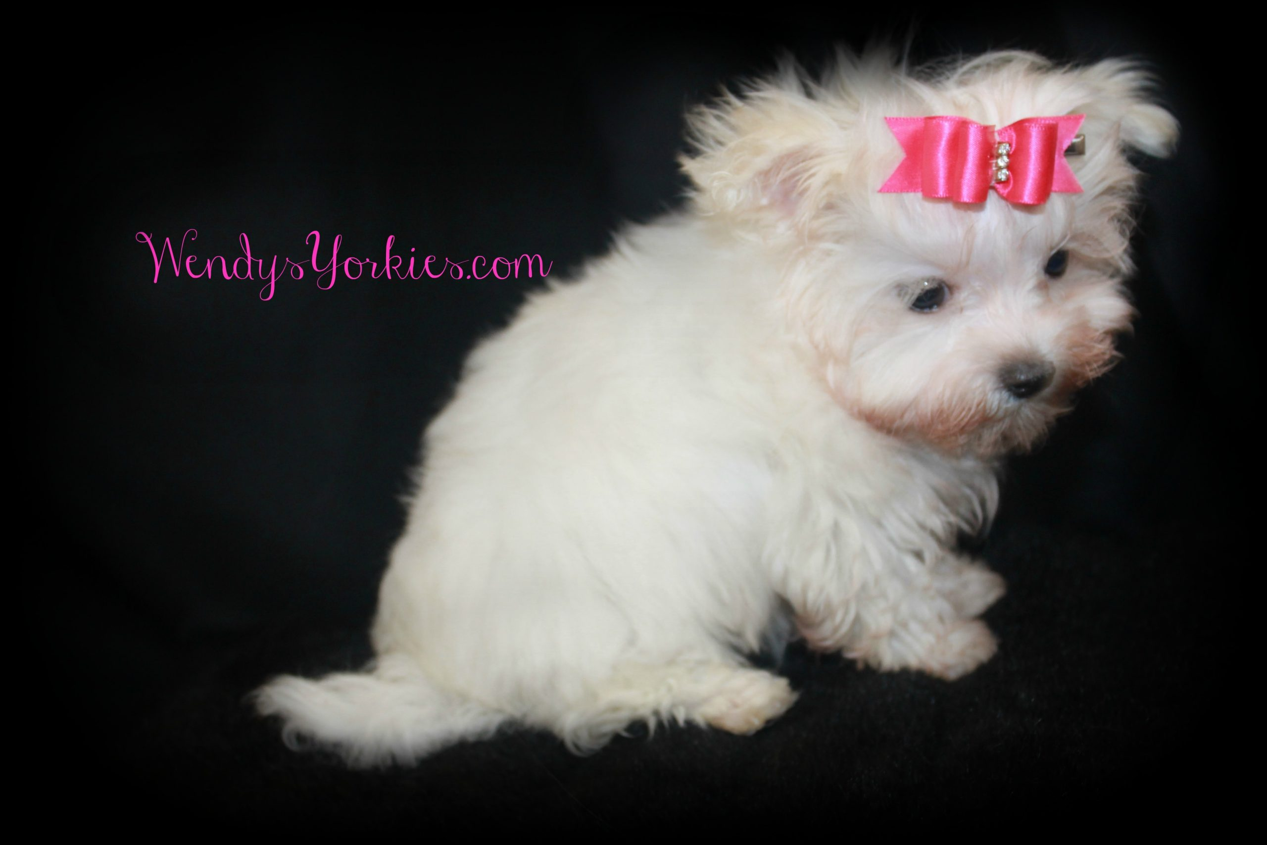 Female Maltese puppy for sale, Snowy,WendysYorkies.com
