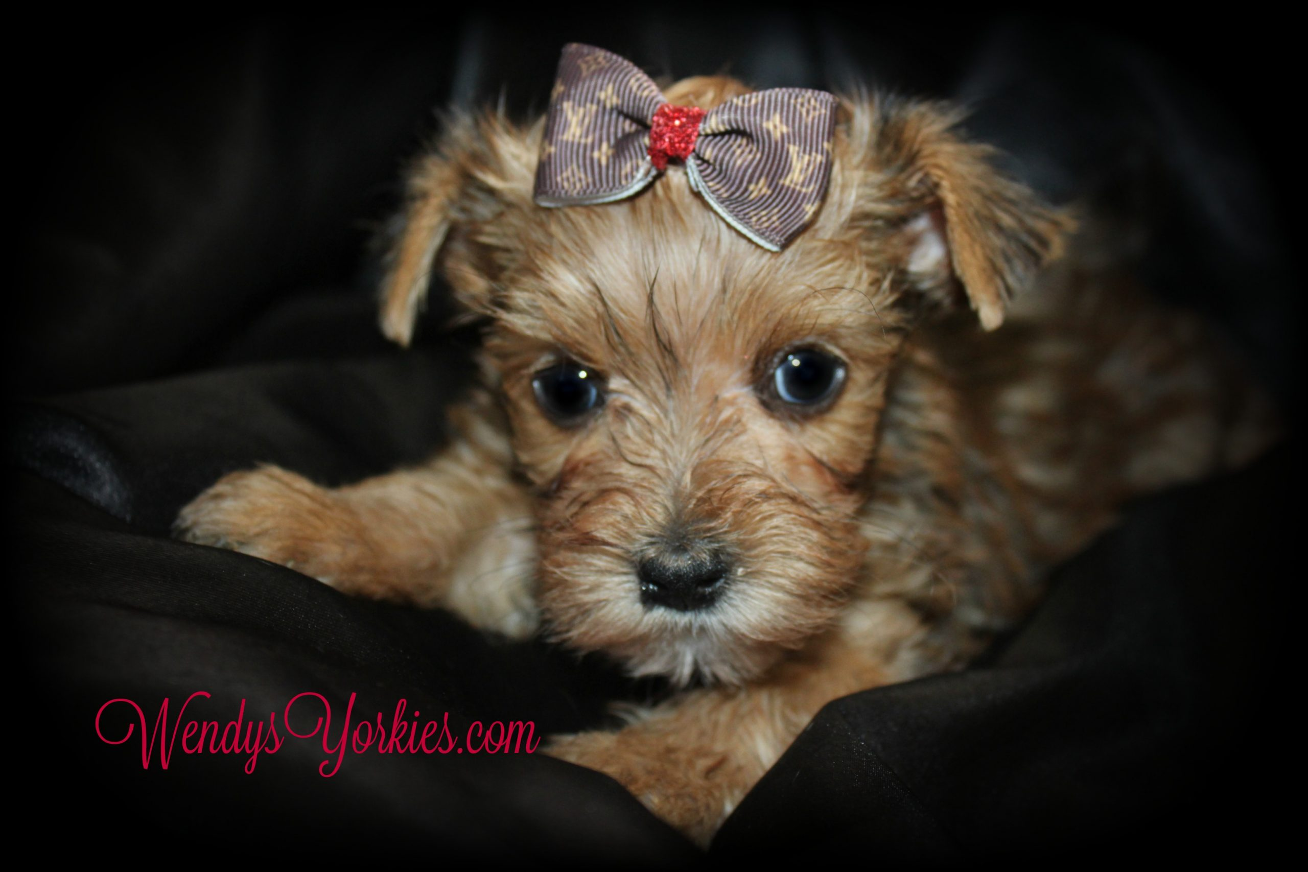 Male YOrkie puppy for sale, Blonde Yorkie puppy, WendysYorkies.com