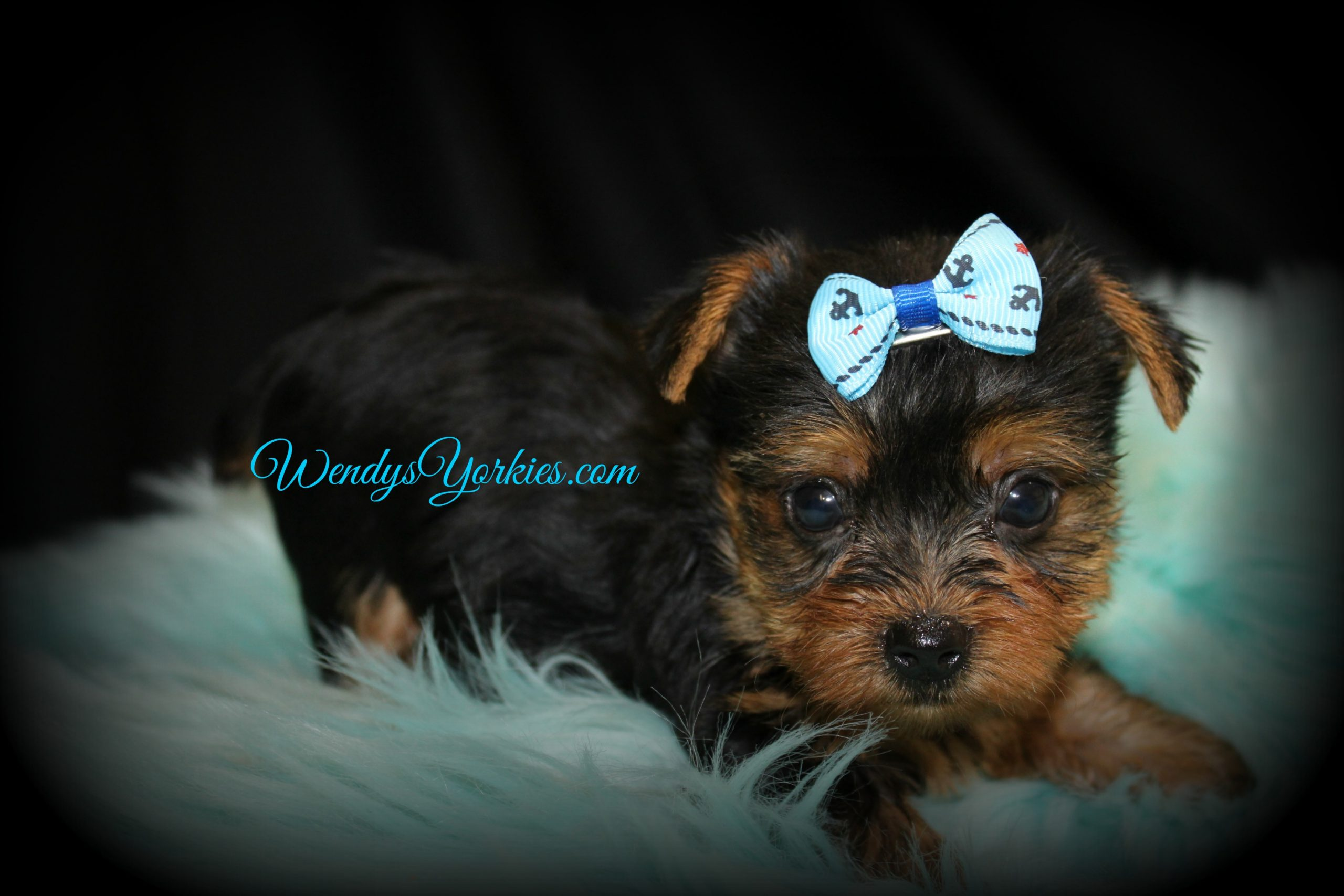 Male Yorkie puppy for sale, Grace m1, WendysYorkies.com