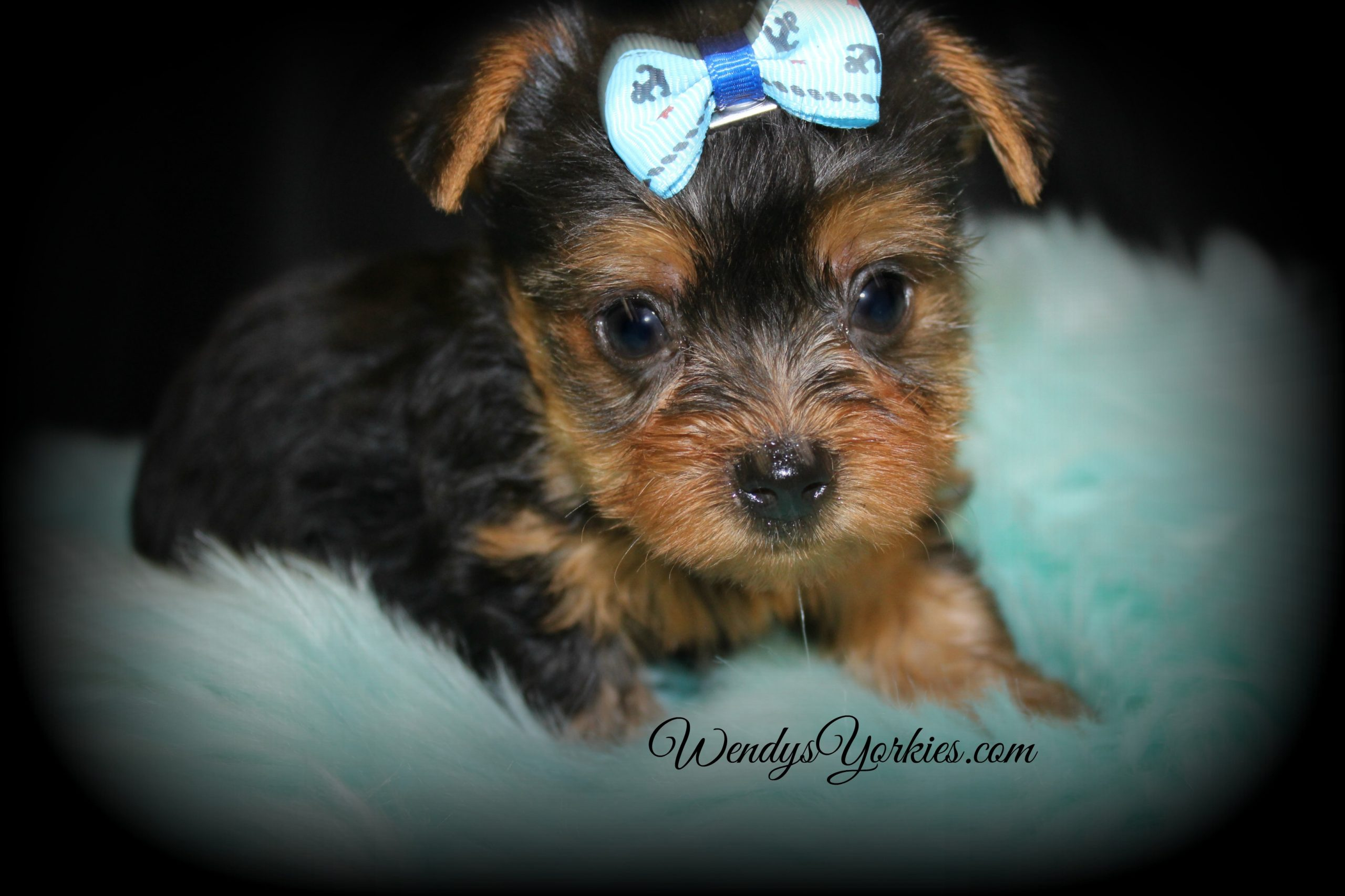 Teacup Male YOrkie puppy for sale, Grace m1, WendysYorkies.com