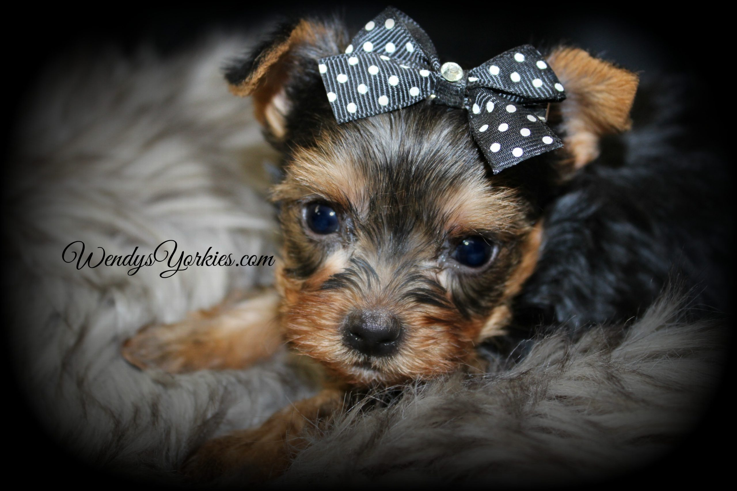 Teacup Male Yorkie puppy, Grace m2, WendysYorkies.com