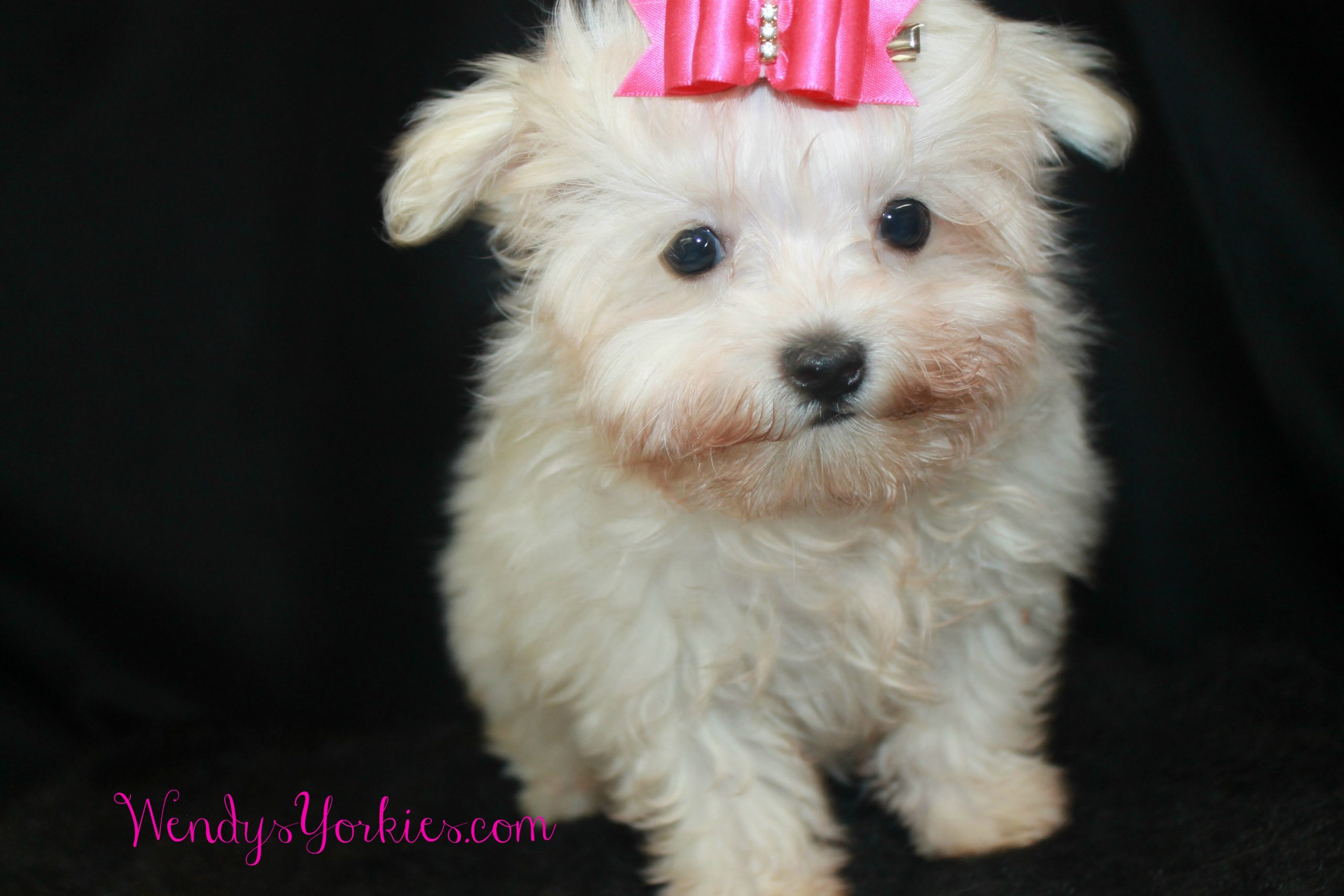 Teacup Maltese puppy for sale, Snowy, WendysYorkies.com