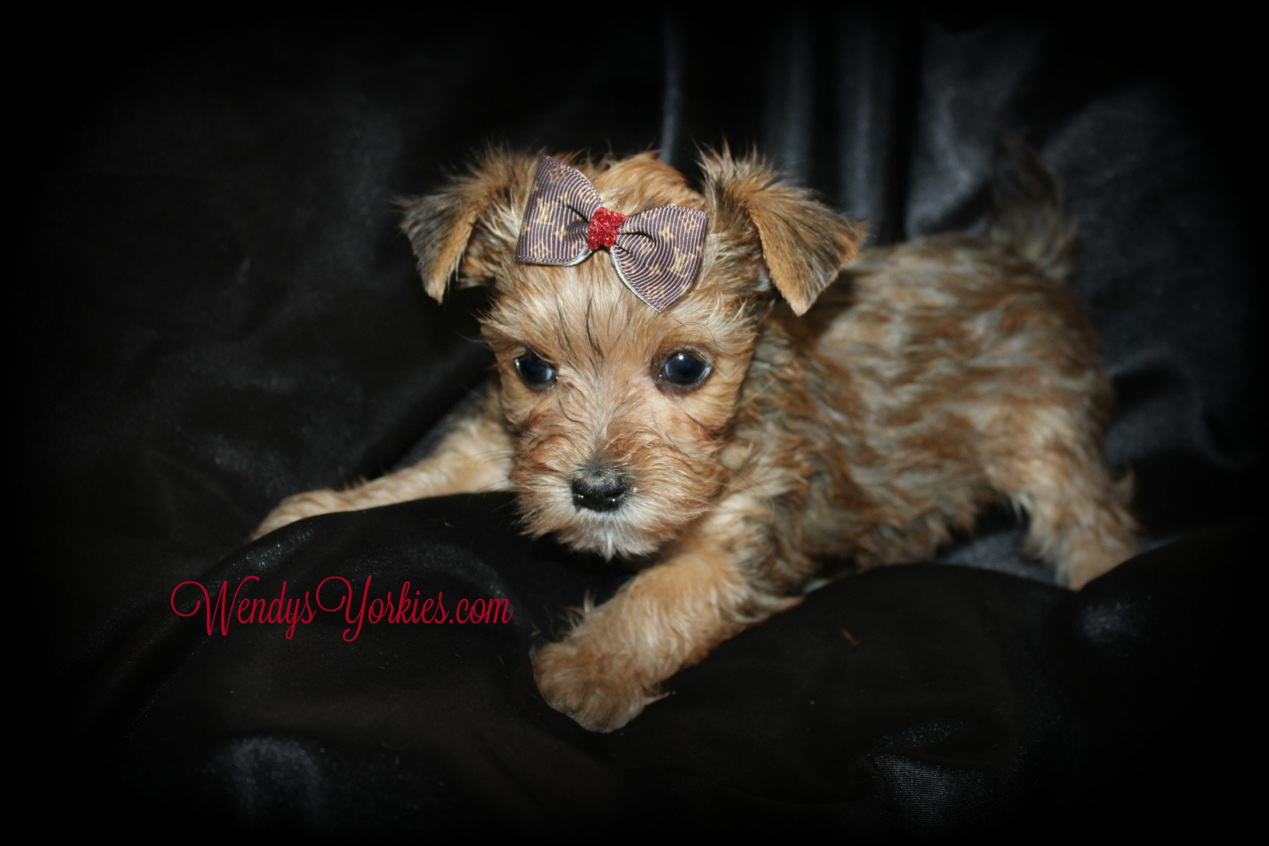 Teacup Yorkie puppies for sale, River,WendysYorkies.com