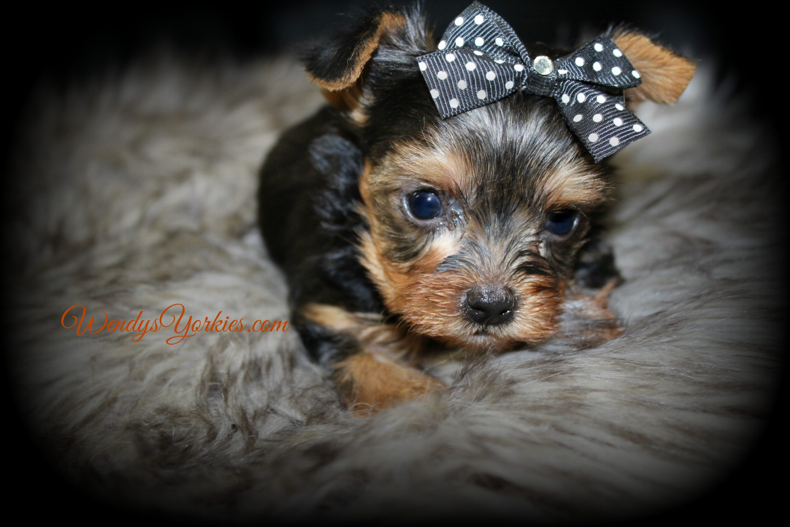 Teacup Yorkie puppy for sale, Grace m2, WendysYorkies.com