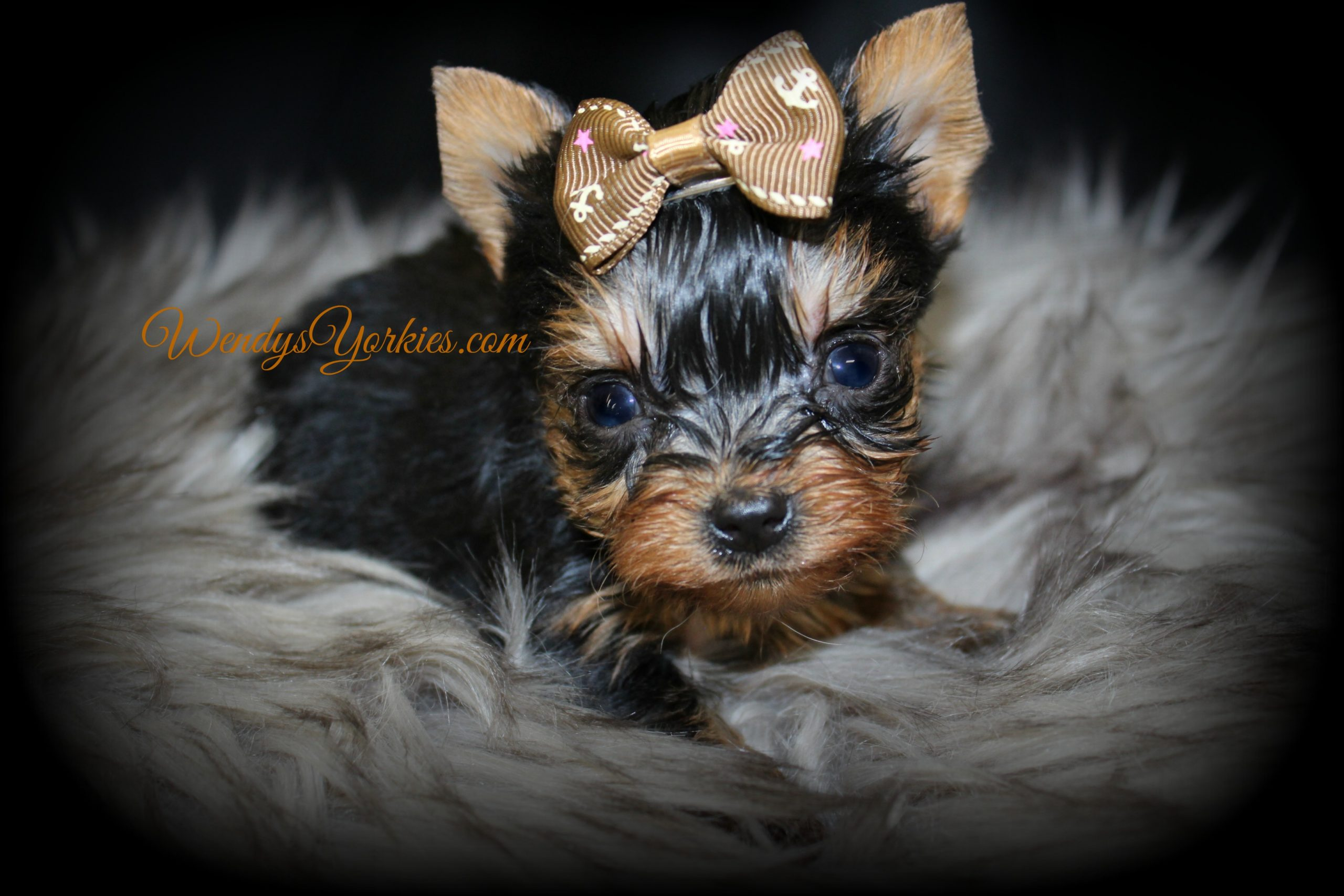 Teacup Yorkie puppy for sale, Grace m3, WendysYorkies.com
