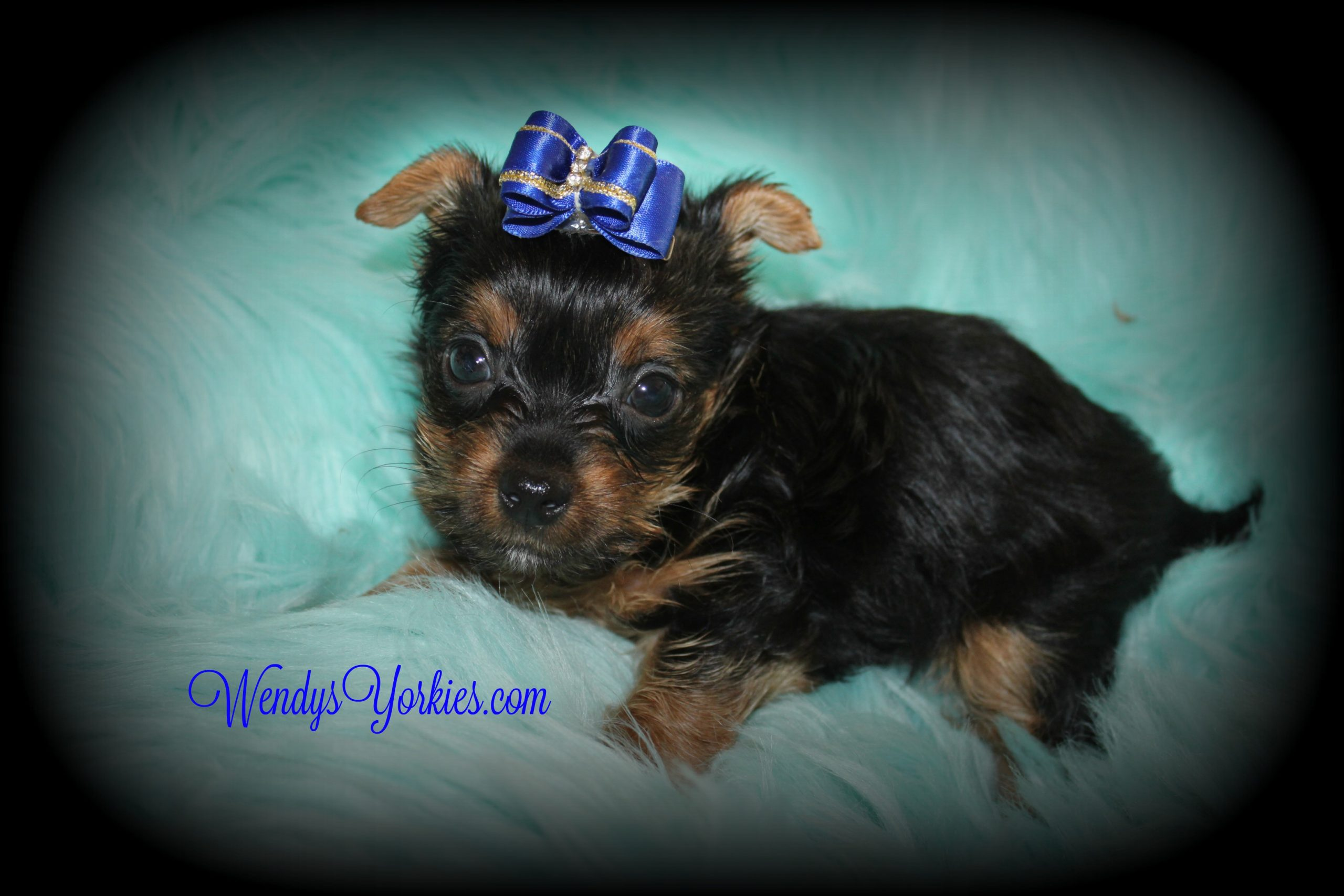 Teacup Yorkie puppy for sale in Texas, Anna m1, WendysYorkies.com