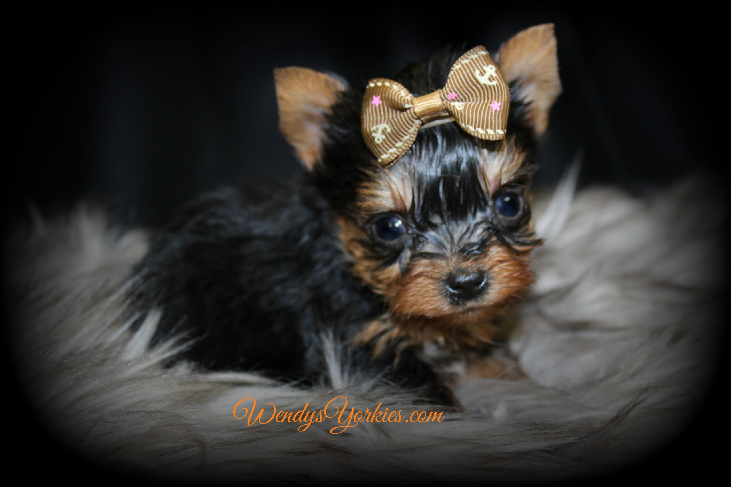 Tiny Male yOrkie puppy, Grace m3, WendysYorkies.com