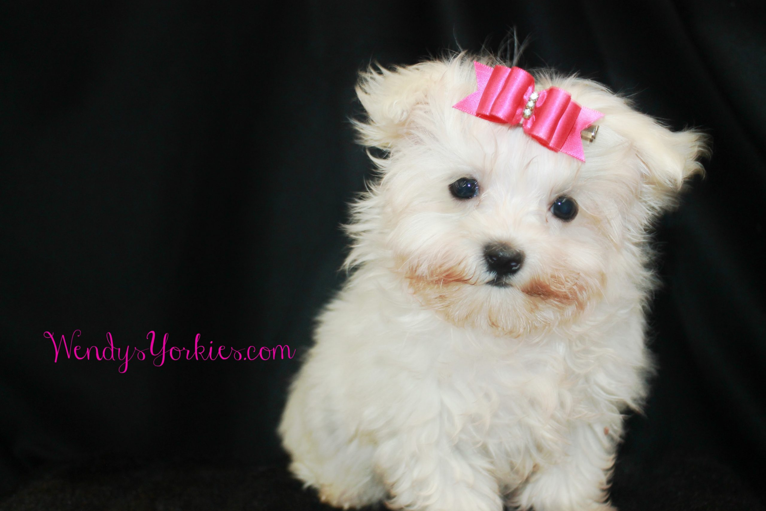 Tiny Maltese puppy for sale, Snowy, WendysYorkies.com