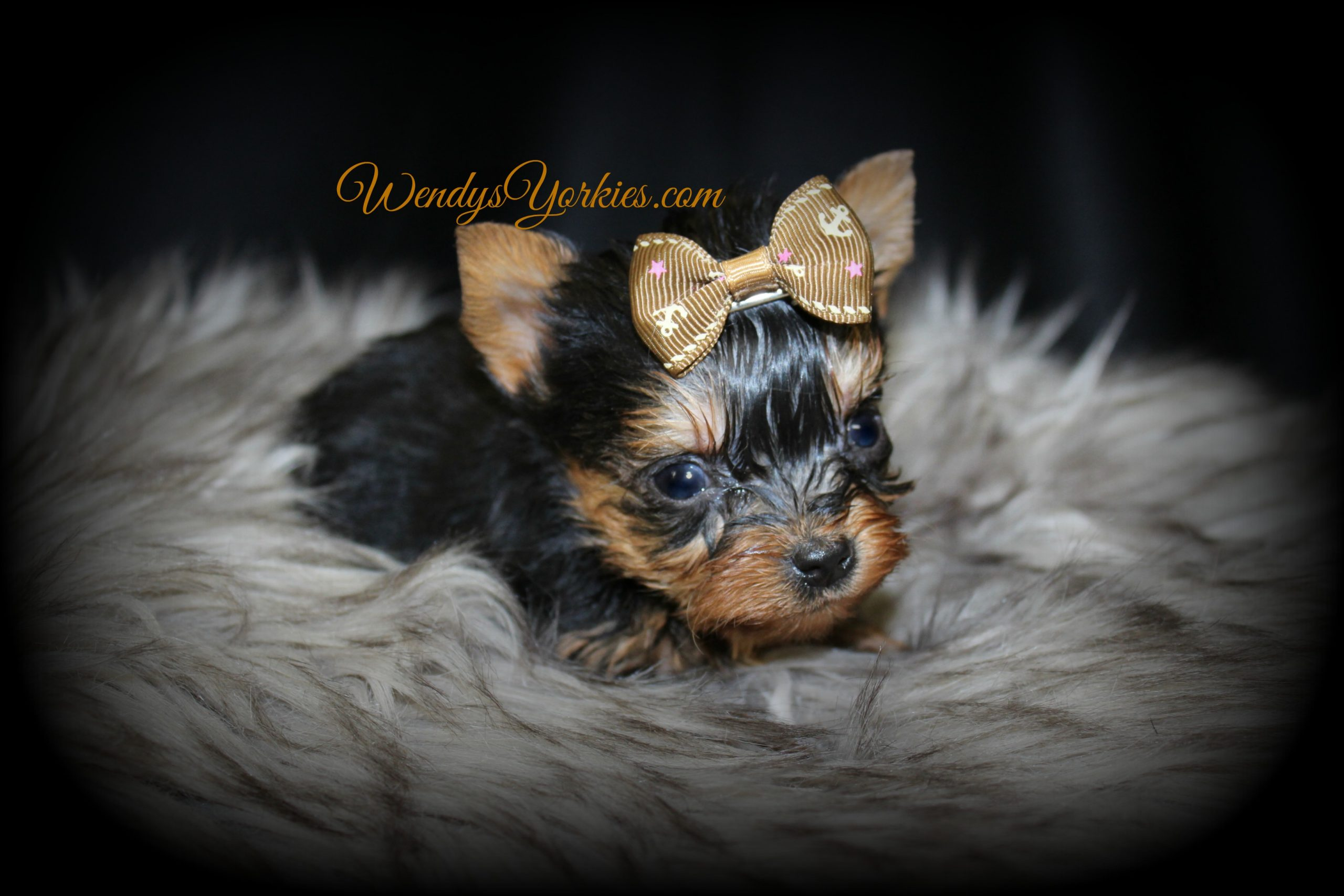 Tiny Teacup Male yorkie puppy for sale, Grace m3, WendysYorkies.com