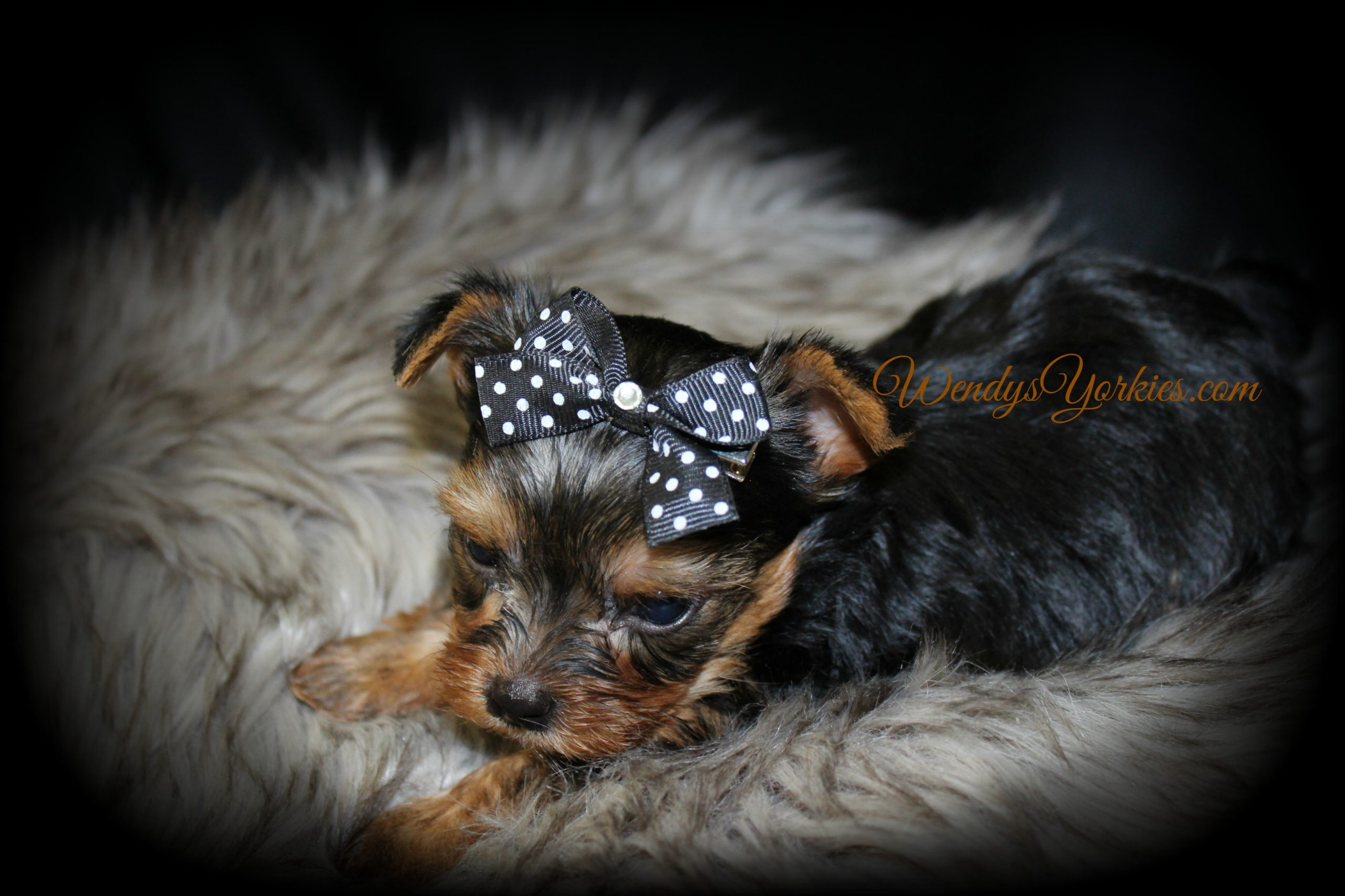 Yorkie puppies for sale in Texas, Grace m2, WendysYorkies.com