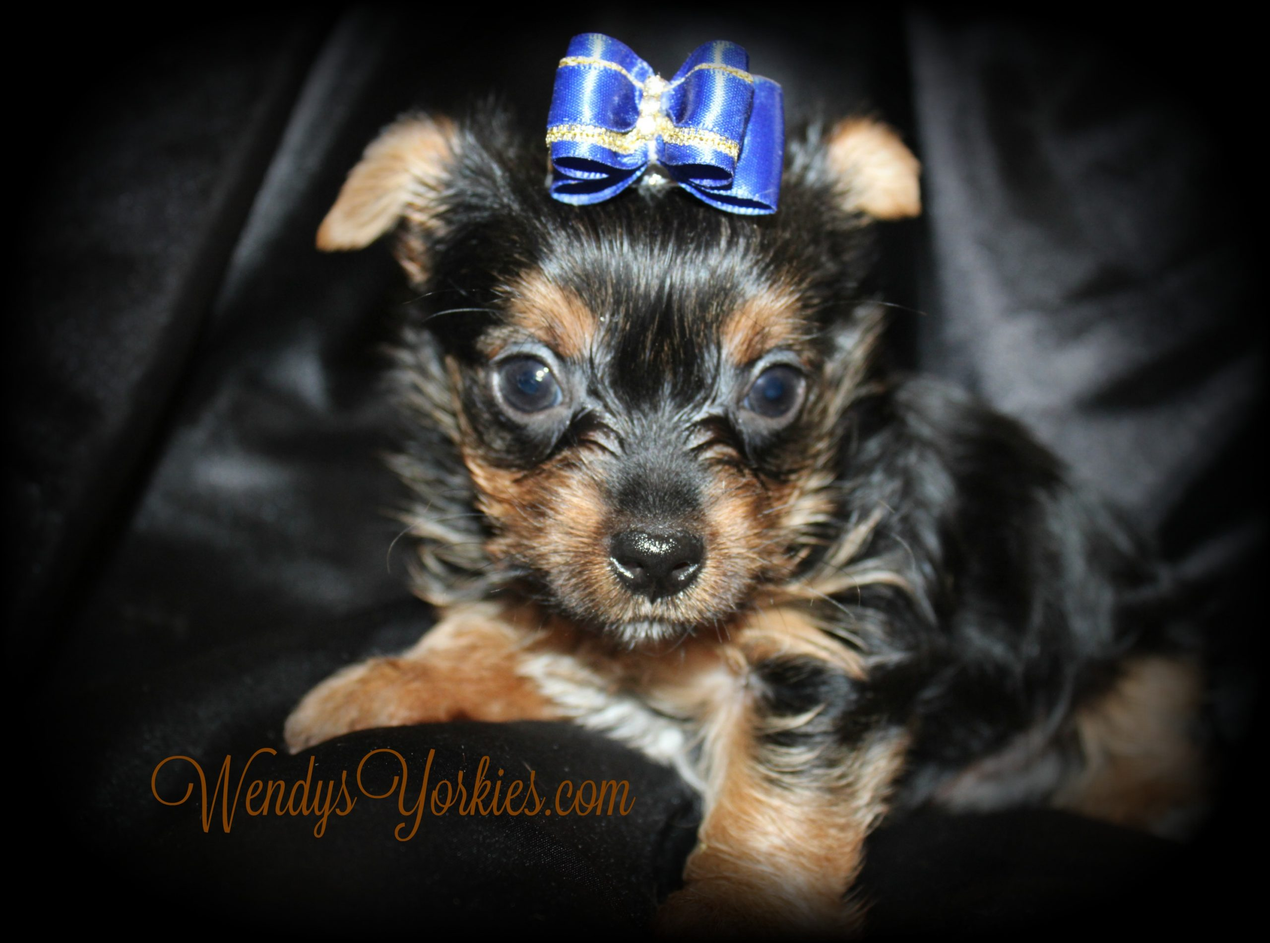 Yorkie puppy for sale in Texas, Anna m1, WendysYorkies.com
