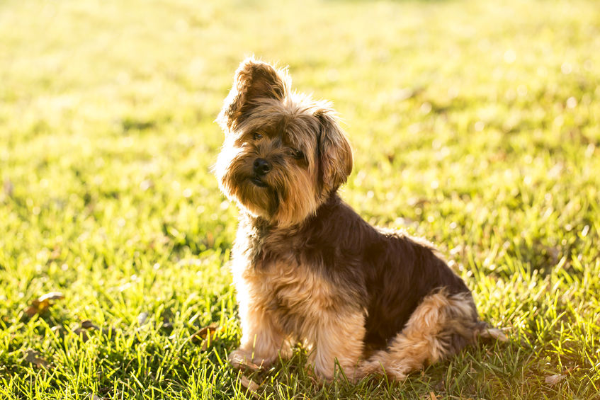 4 Summer Care Tips for Your Yorkie Puppy