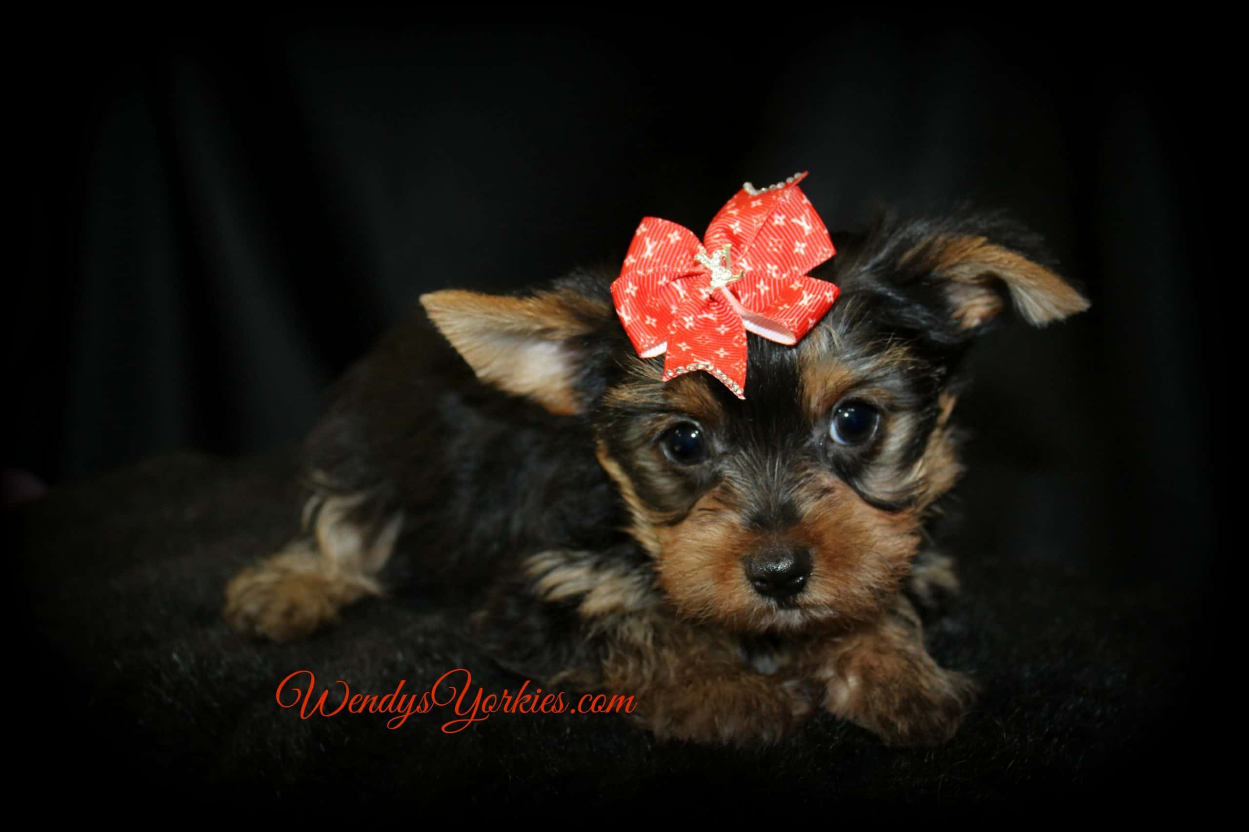 Male Yorkie puppy for sale, TG M1, WendysYorkies.com