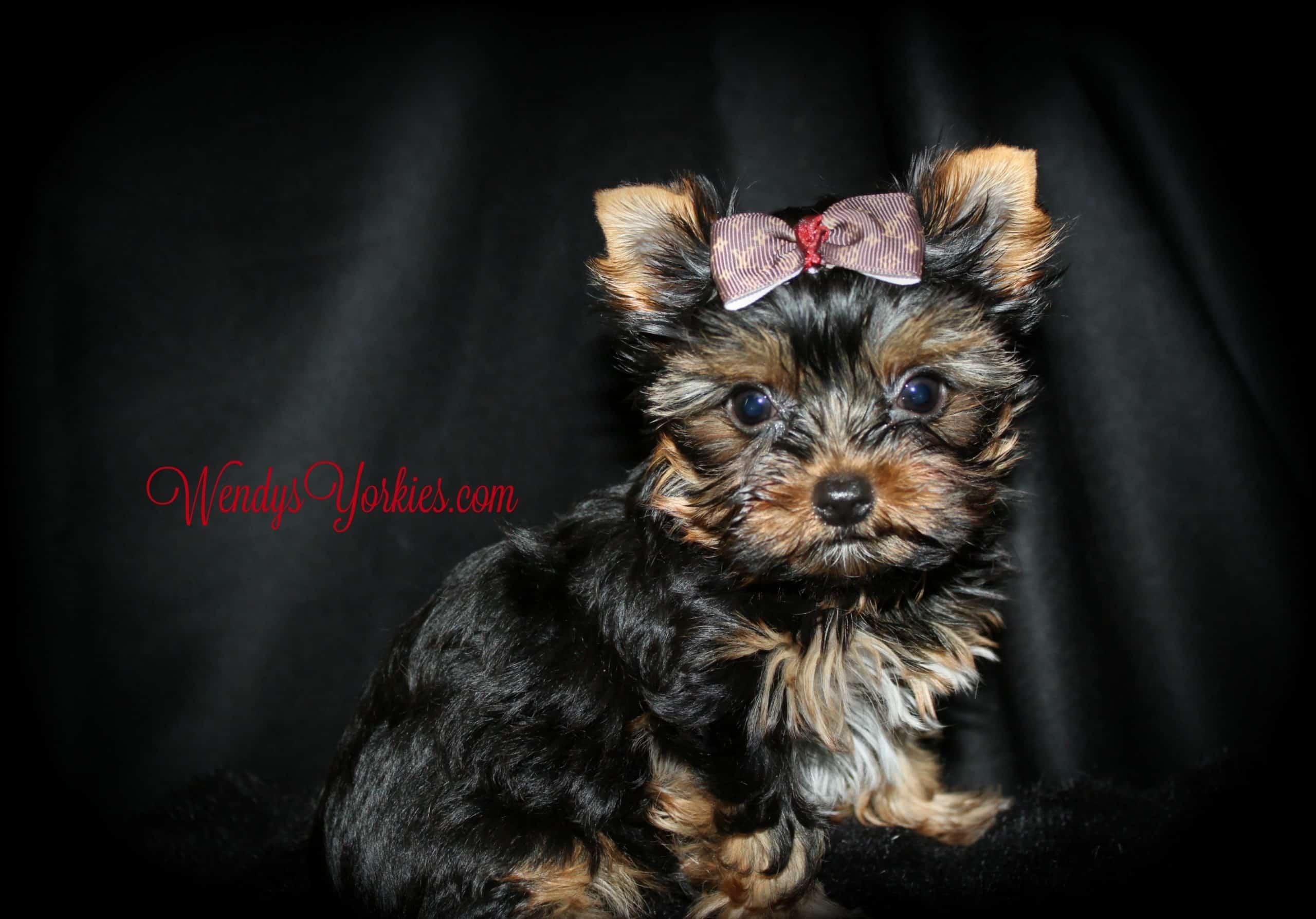 Tiny Yorkie puppy, Haley, WendysYorkies.com