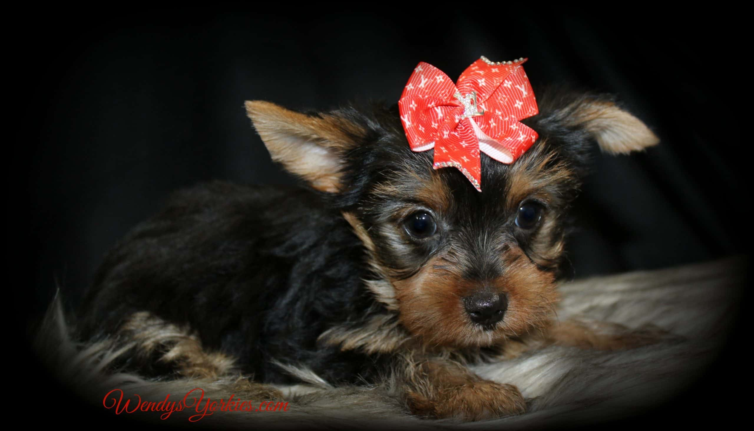 Yorkie puppies for sale , TG m1, WendysYorkies.com