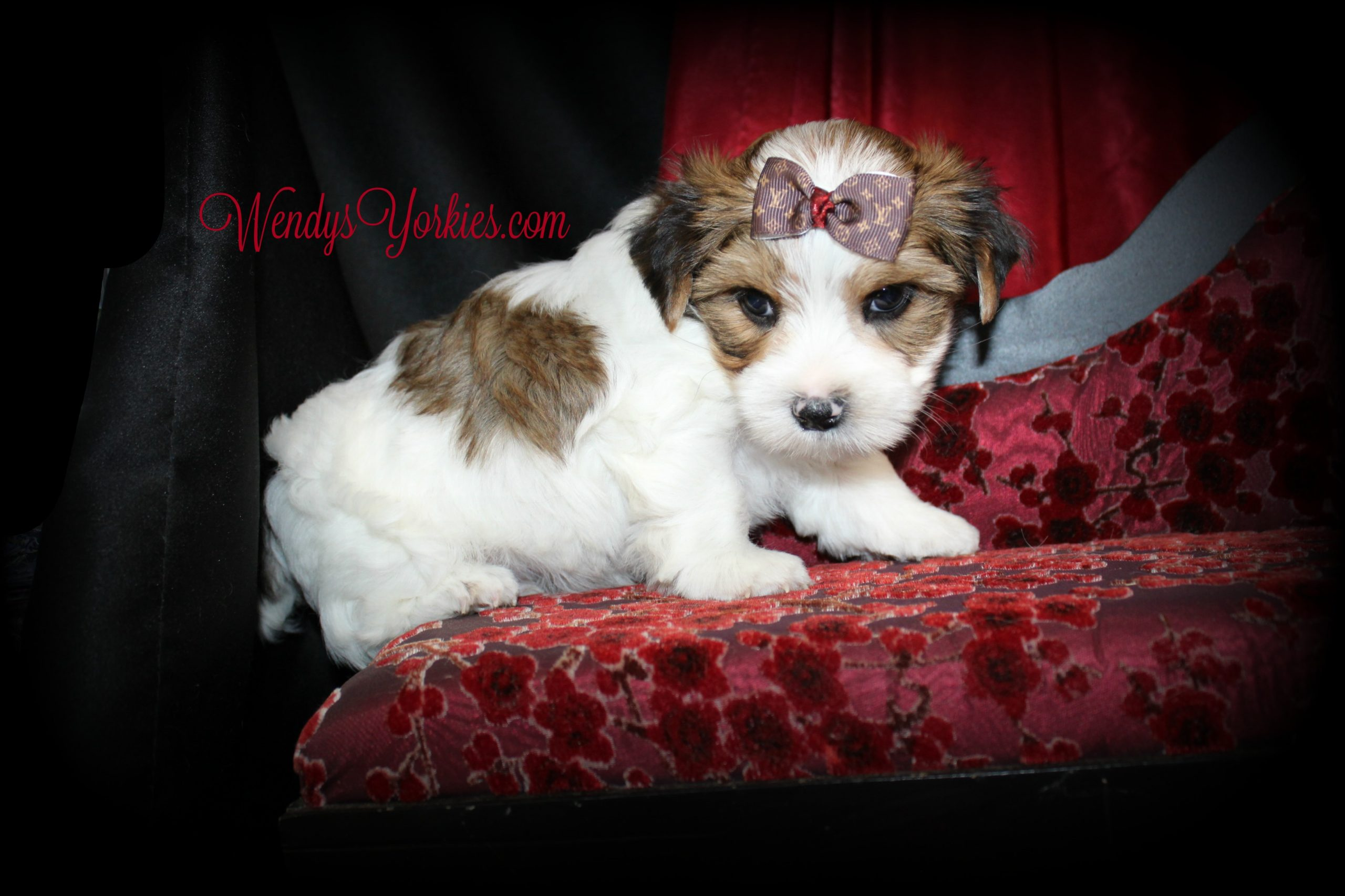 Male Parti Yorkie puppy for sale, Reese m1, WendysYorkies.com
