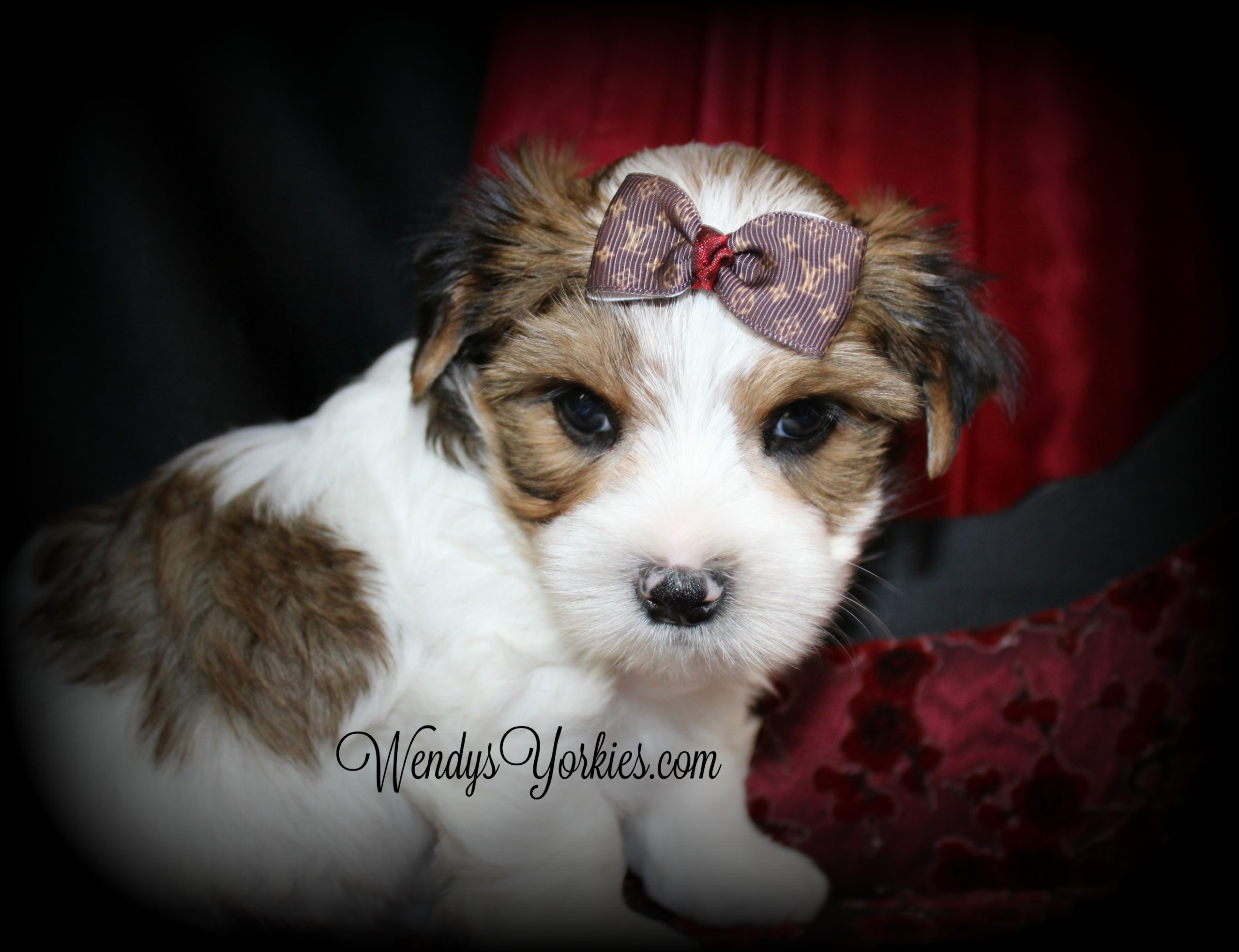 Parti Yorkie puppies for sale in Texas, reese m1, WendysYorkies.com