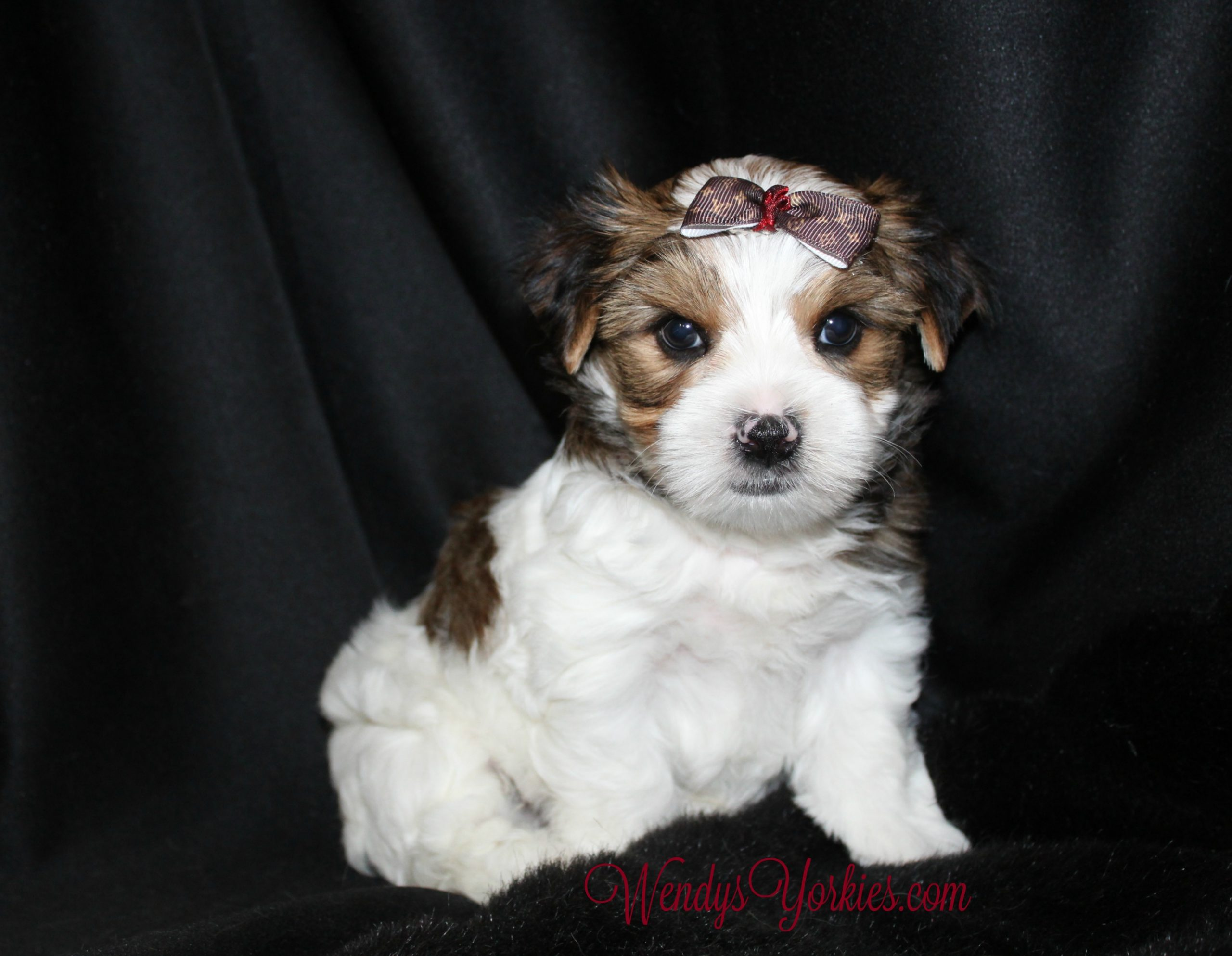Parti Yorkie puppy for sale in Texas, Reese m1, WendysYorkies.com