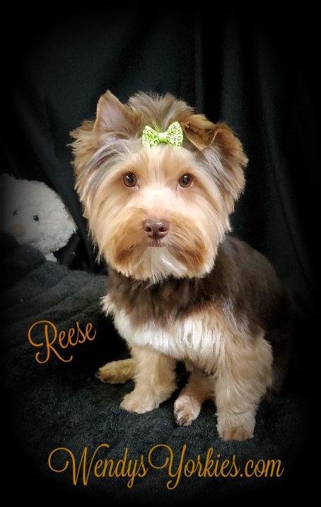 Reese, Yorkie Dog Breeder, WendysYorkies.com