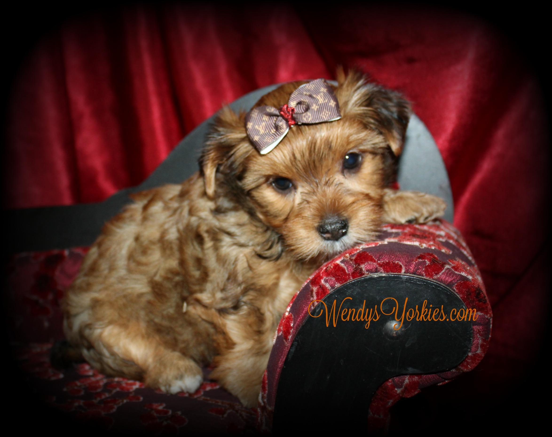 YOrkie puppy for sale, Reese f1,WendysYorkies.com