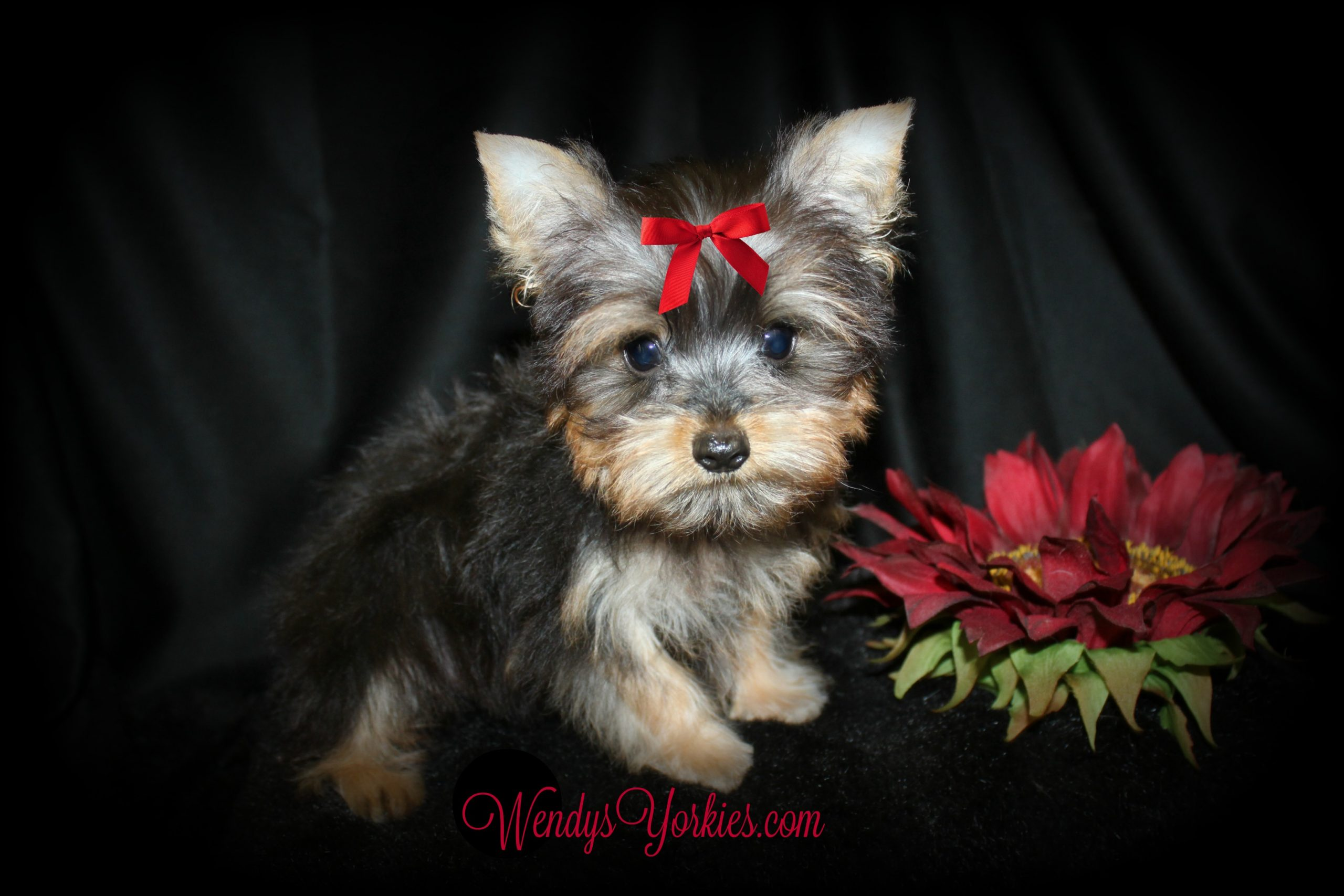 Teacup Yorkie puppy for sale, Happy, WendysYorkies.com