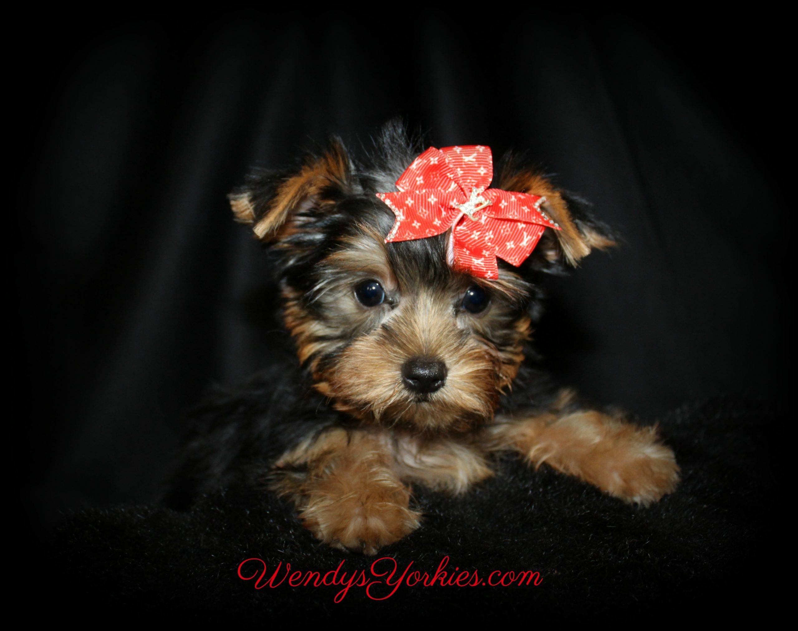 Tiny Male Yorkie puppy for sale, Nola m1, WendysYorkies.com