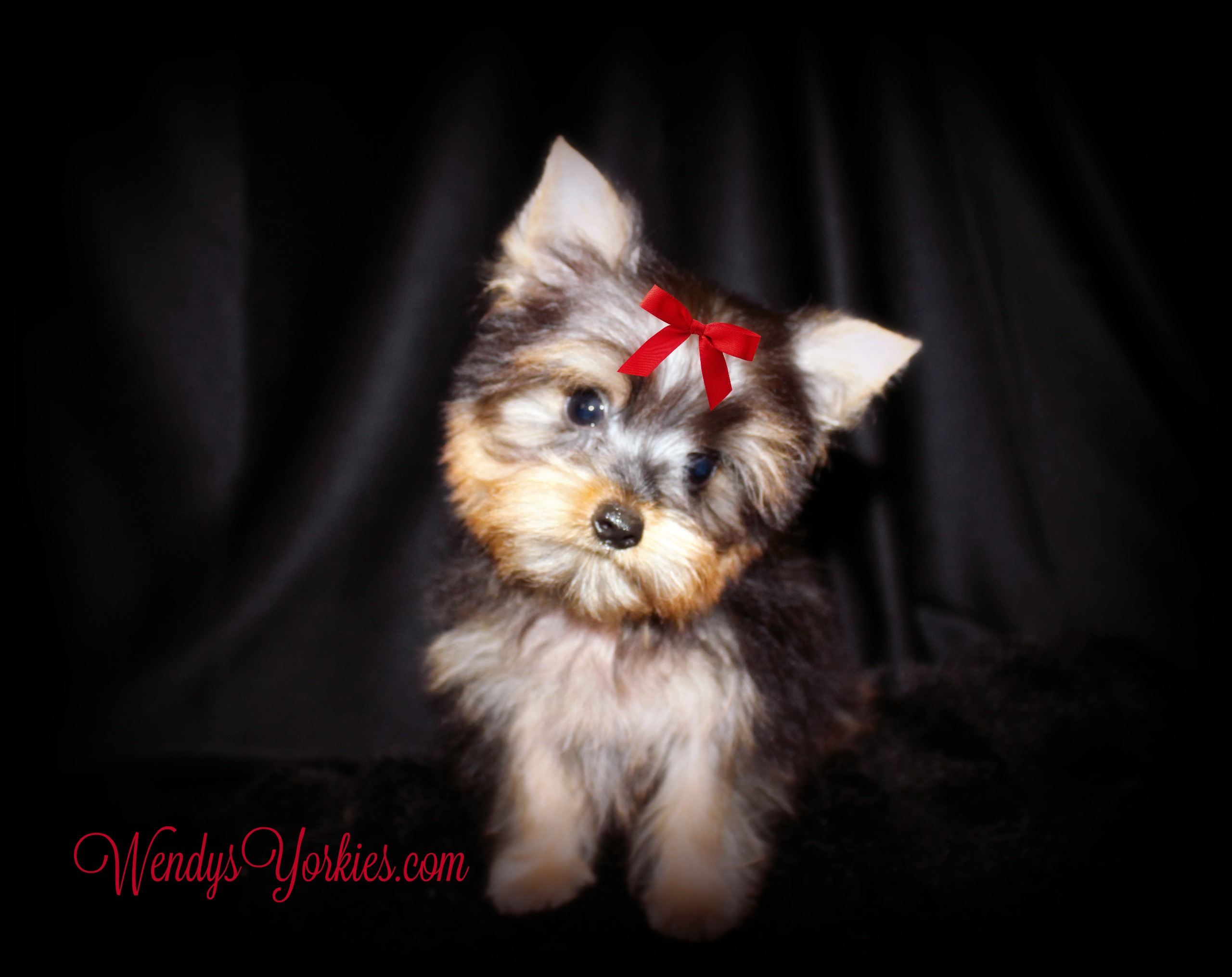 Tiny Yorkie puppy for sale, Brittney, Happy, WendysYorkies.com