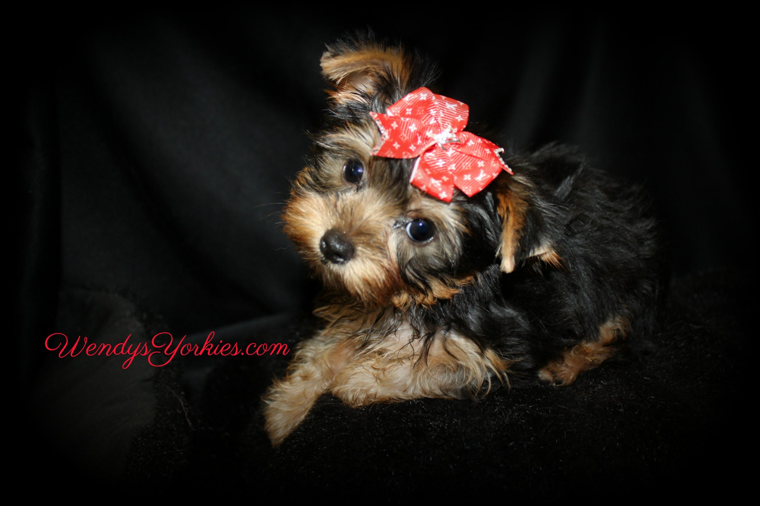 Tiny Yorkie puppy for sale, Nola m1,WendysYorkies.com