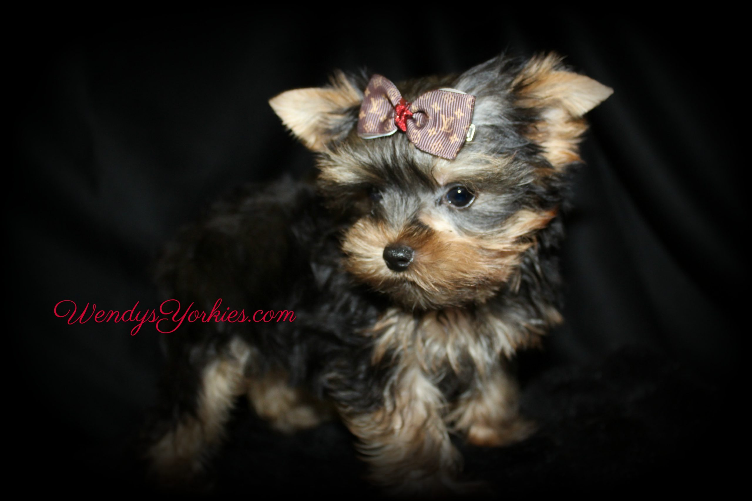 Tiny Yorkie puppy for sale, PS m1 ,WendysYorkies.com