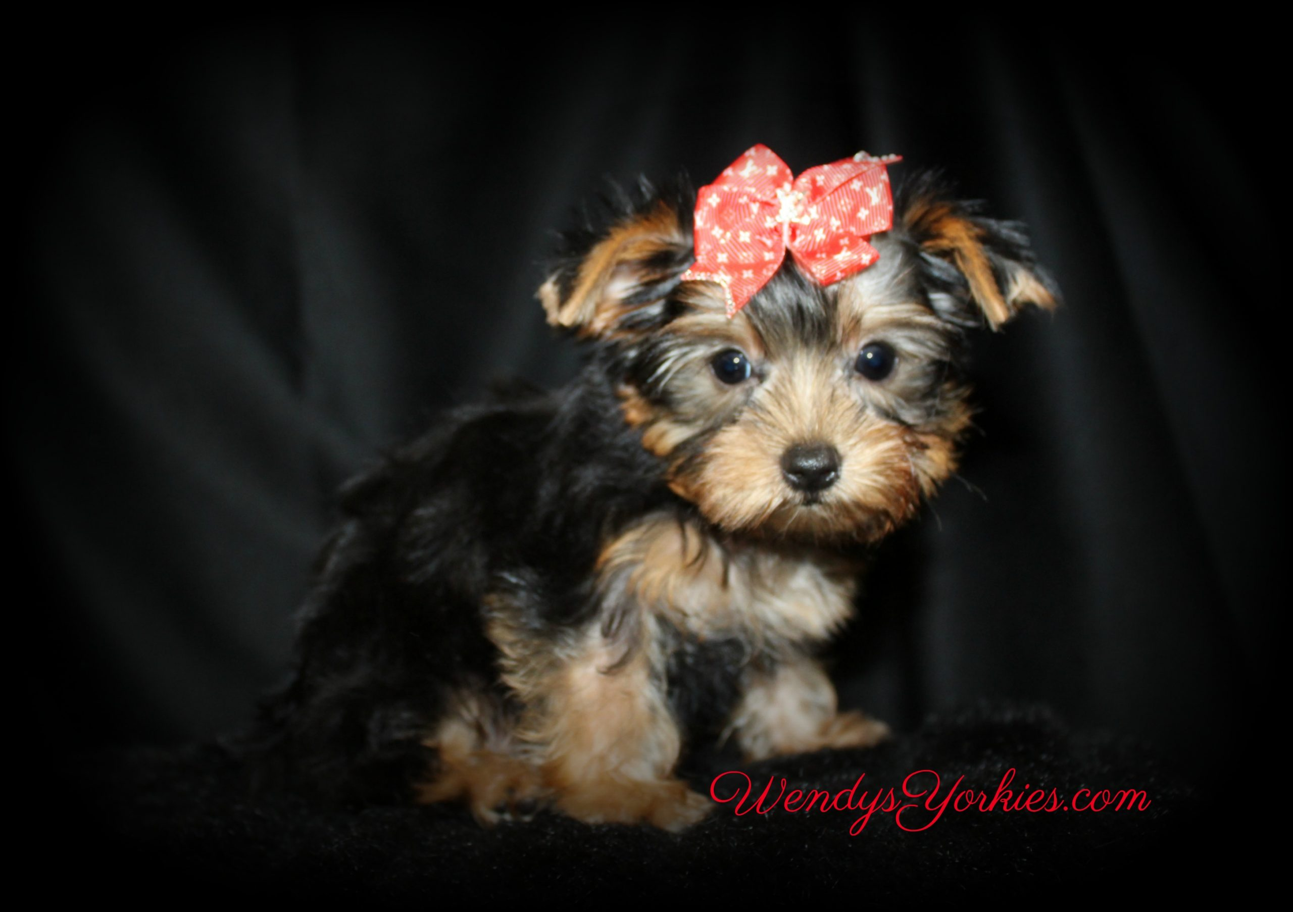 Yorkie puppies for sale, Nola m1, WendysYorkies.com