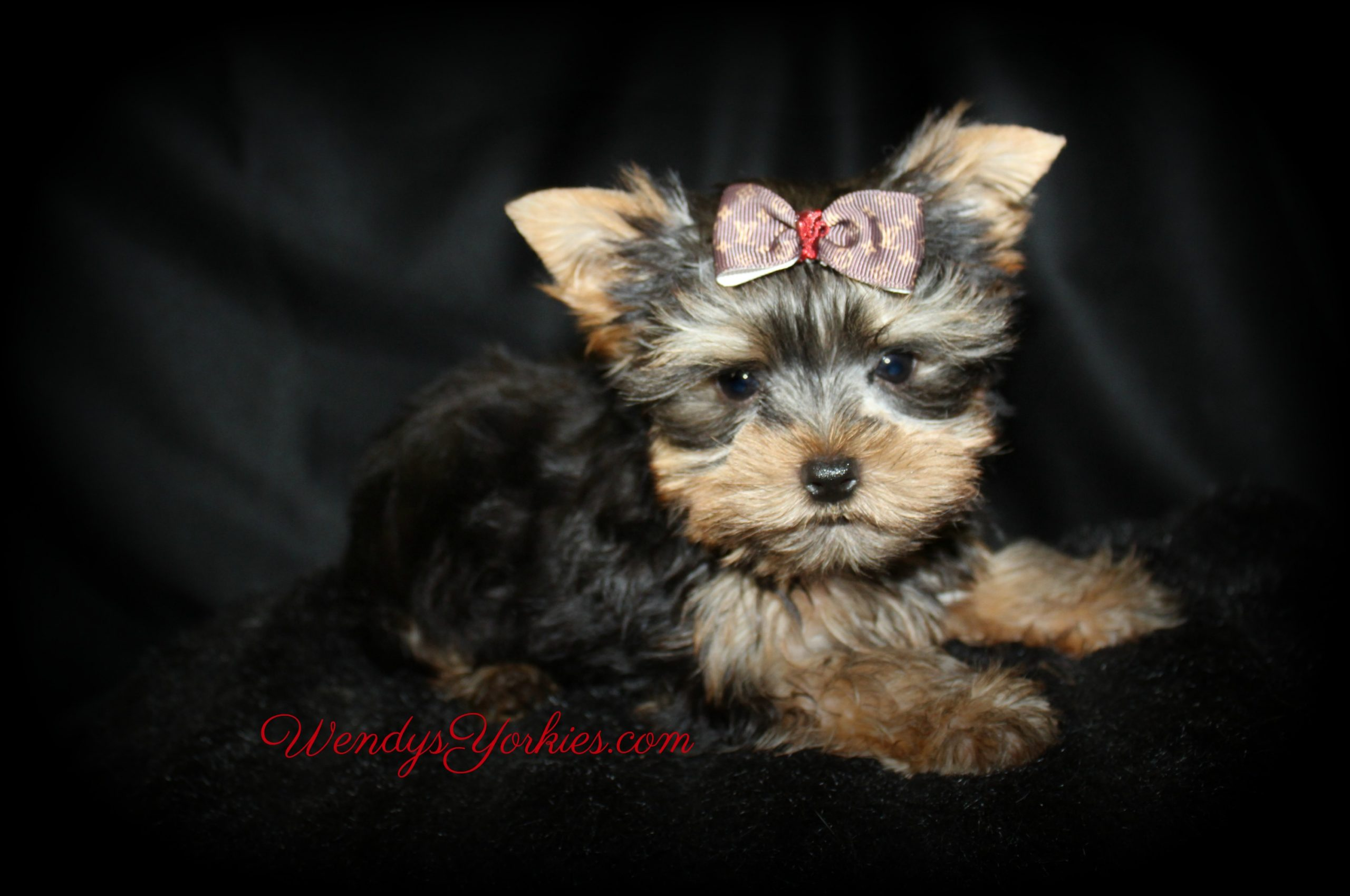 Yorkie puppies for sale, PS m1, WendysYorkies.com