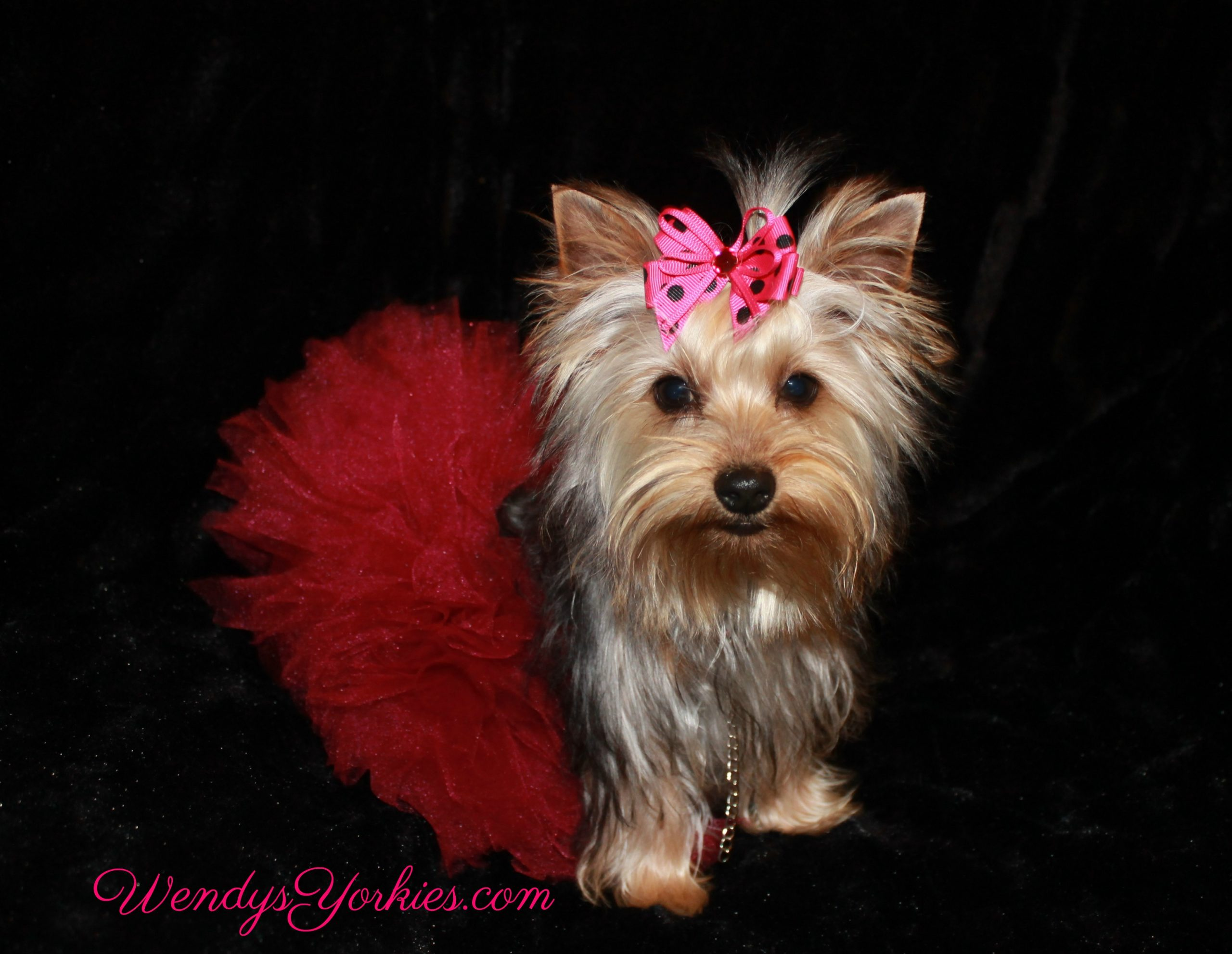 Yorkie puppy breeder in Texas, Brittney, WendysYorkies.com
