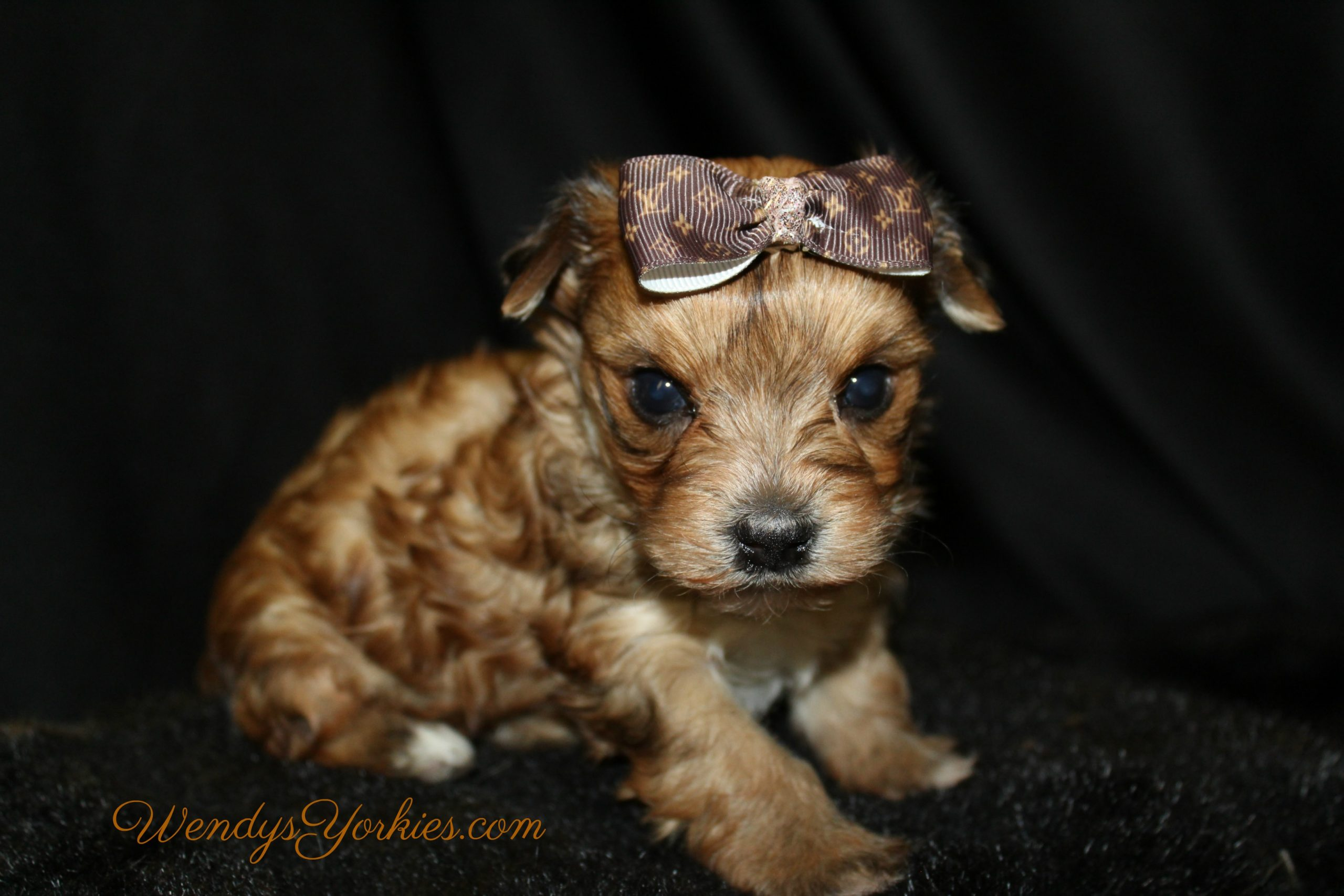 Blonde Yorkie puppy for sale, LB M2, WendysYorkies.com
