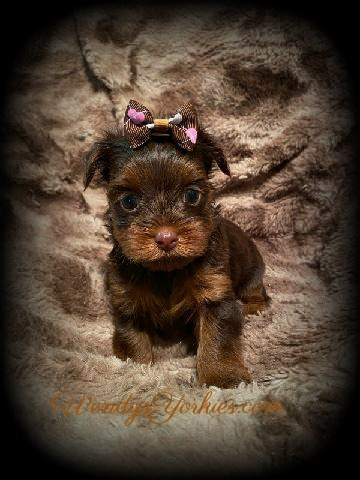 Chocolate Yorkie puppy for sale, C and d cm1, WendysYorkies.com