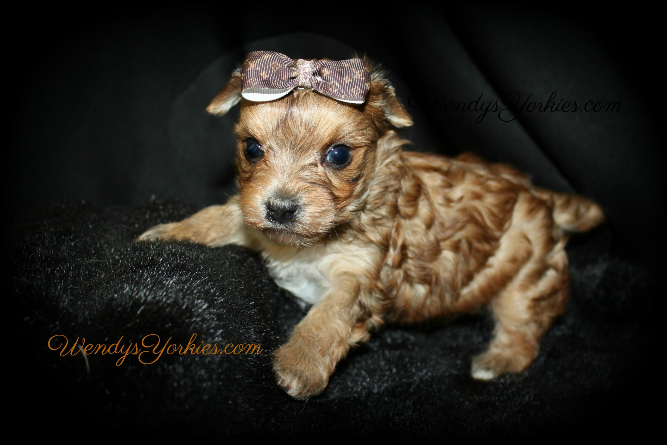 Exoctic Yorkie puppy for sale, Love bug m2, WendysYorkies.com