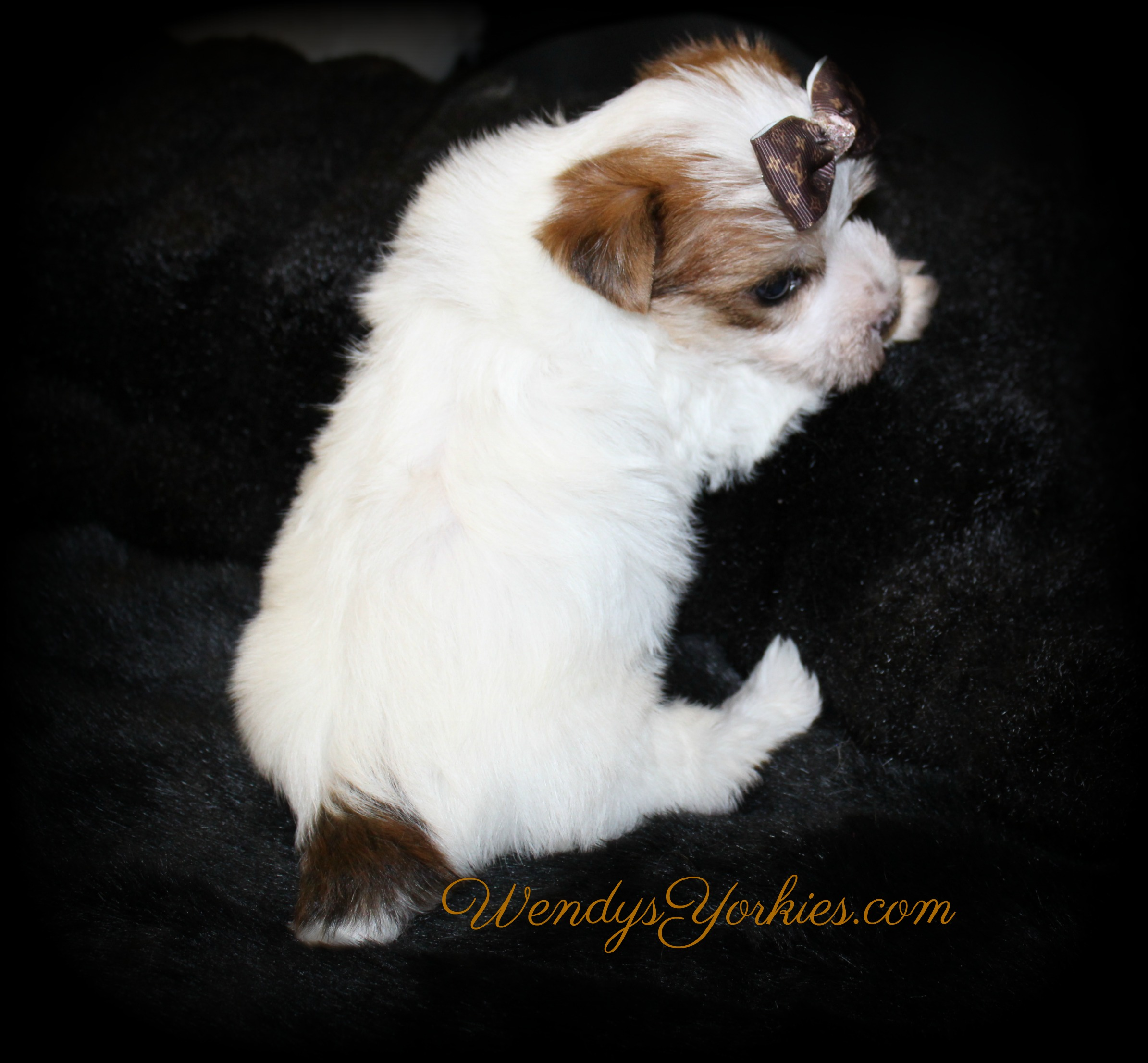 Parti Yorkie puppies for sale, LB m1, WendysYorkies.com