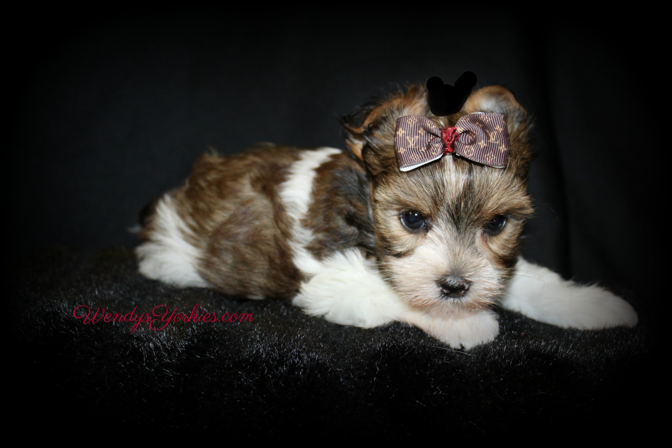 Parti Yorkie puppy for sale, Phoebe m1, WendysYorkies.com