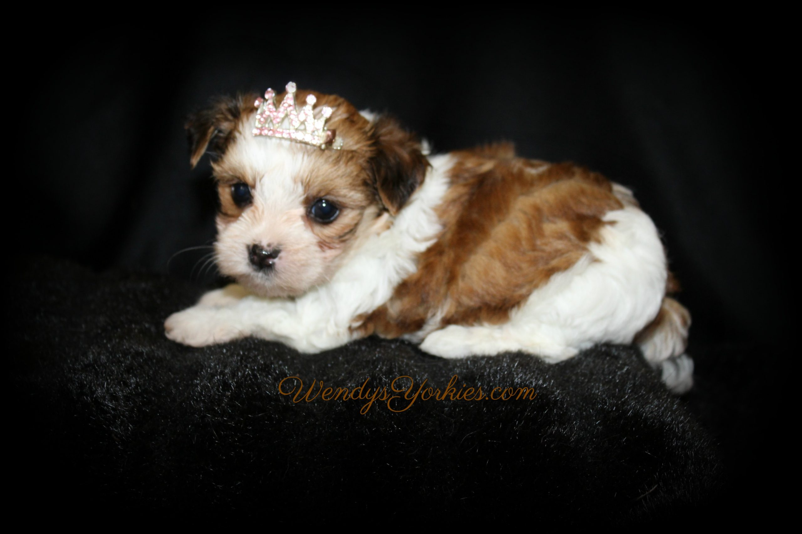 Female Teacup Yorkie Puppies For Sale In Tx Wendys Yorkies