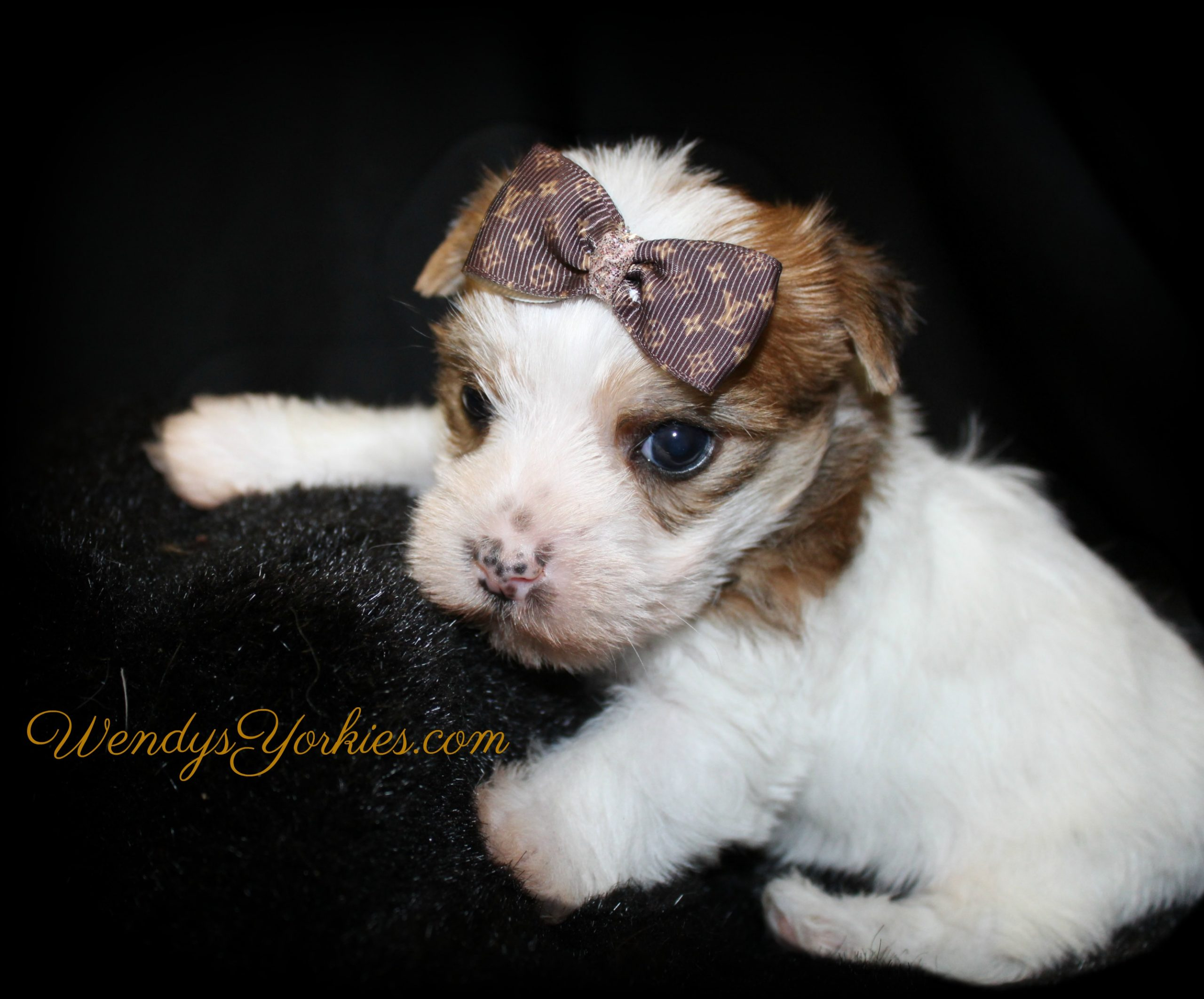 Parti Yorkie puppy for sale in Texas, LB m1, WendysYorkies.com