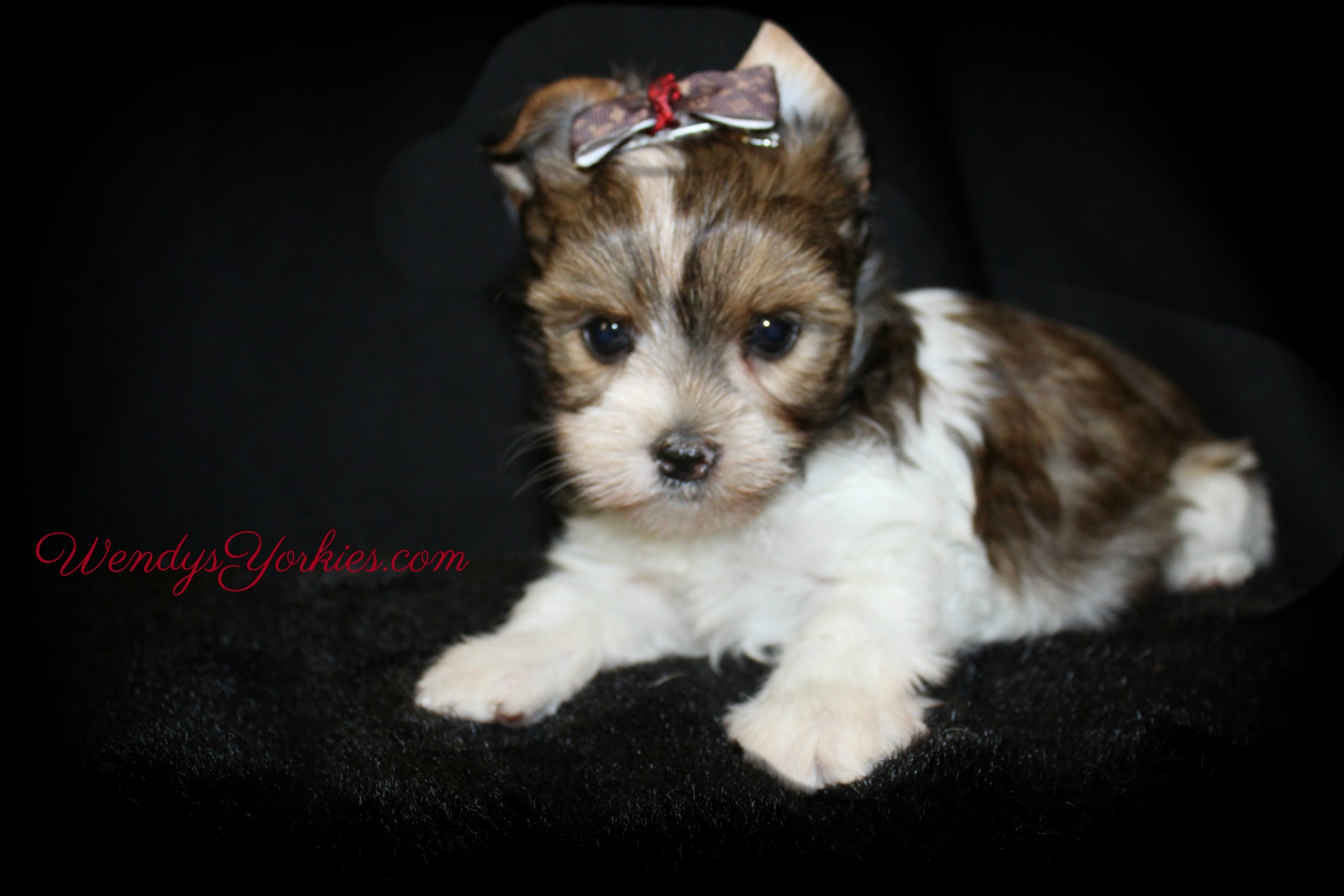 Parti Yorkie puppy for sale in Texas, Phoebe m1, WendysYorkies.com