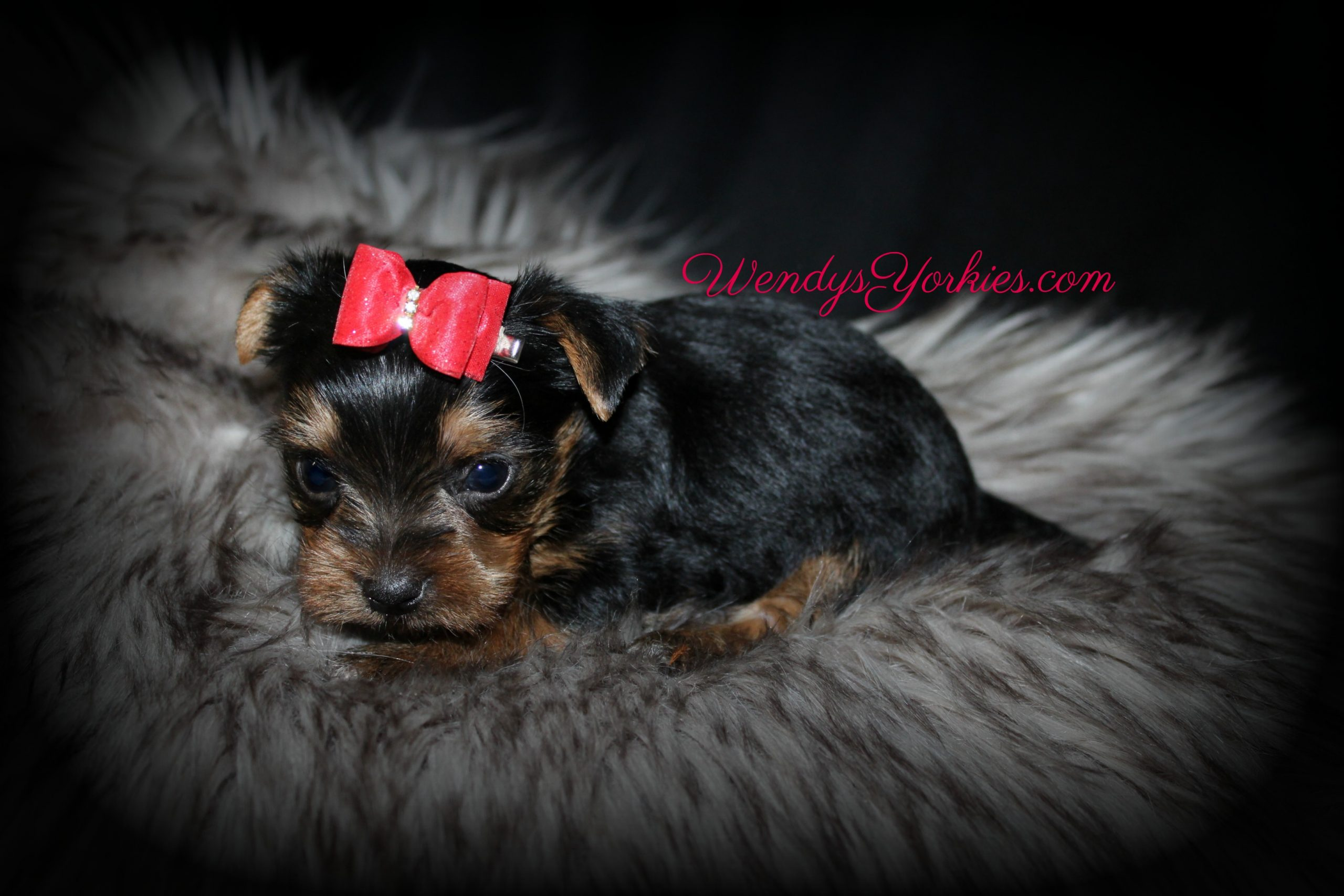 Yorkie puppies for sale, Lacy m1, WendysYorkies.com