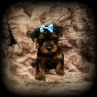 Yorkie puppy for sale, c and d t m 1, WendysYorkies.com
