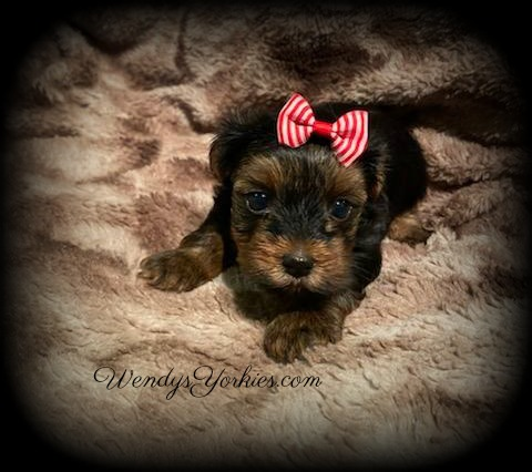 Yorkie puppy for sale, c and d t m 2, WendysYorkies.com