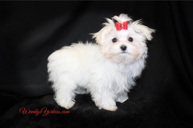 Male Maltese puppy for sale, Dillon_Quinn, WendysYorkies.com
