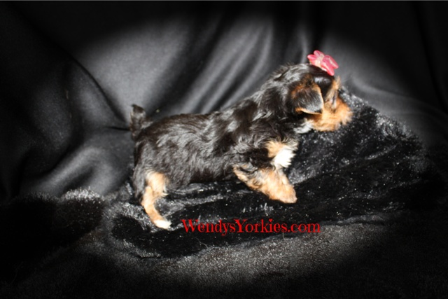 Male YOrkie puppy, Hottie m2, WendysYorkies.com